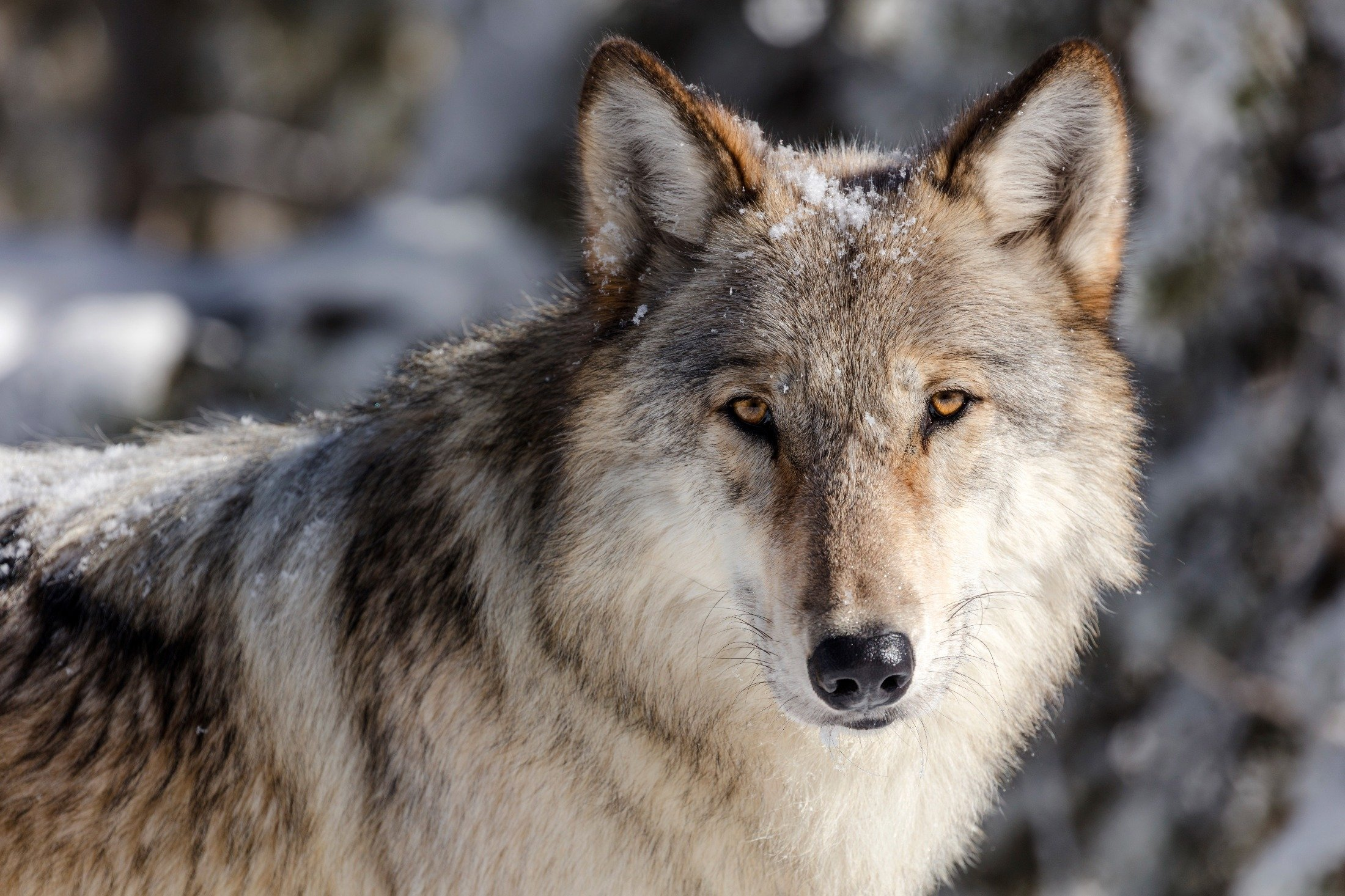 A wolf in Yellowstone National Park looks into the camera, Wyoming, U.S., Nov. 7, 2017. (National Park Service via AP)