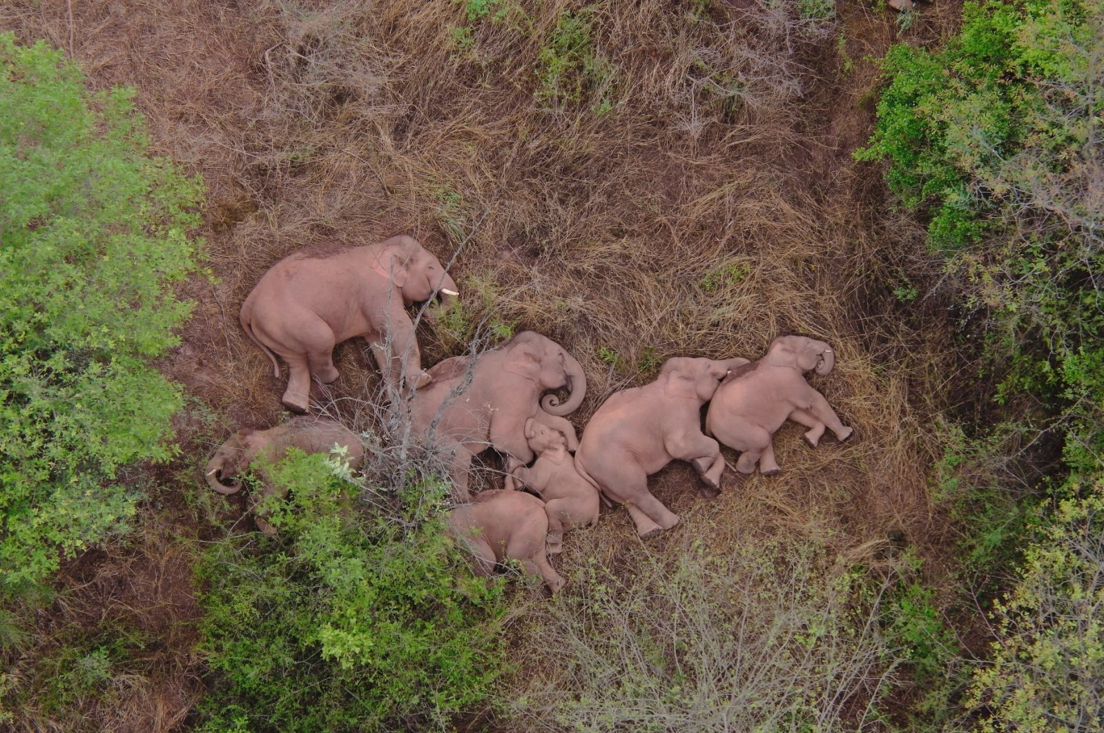 A migrating herd of elephants rests near the Xinyang Township in the Jinning District of Kunming city of southwestern China's Yunnan Province, June 7, 2021. (Yunnan Forest Fire Brigade via AP)