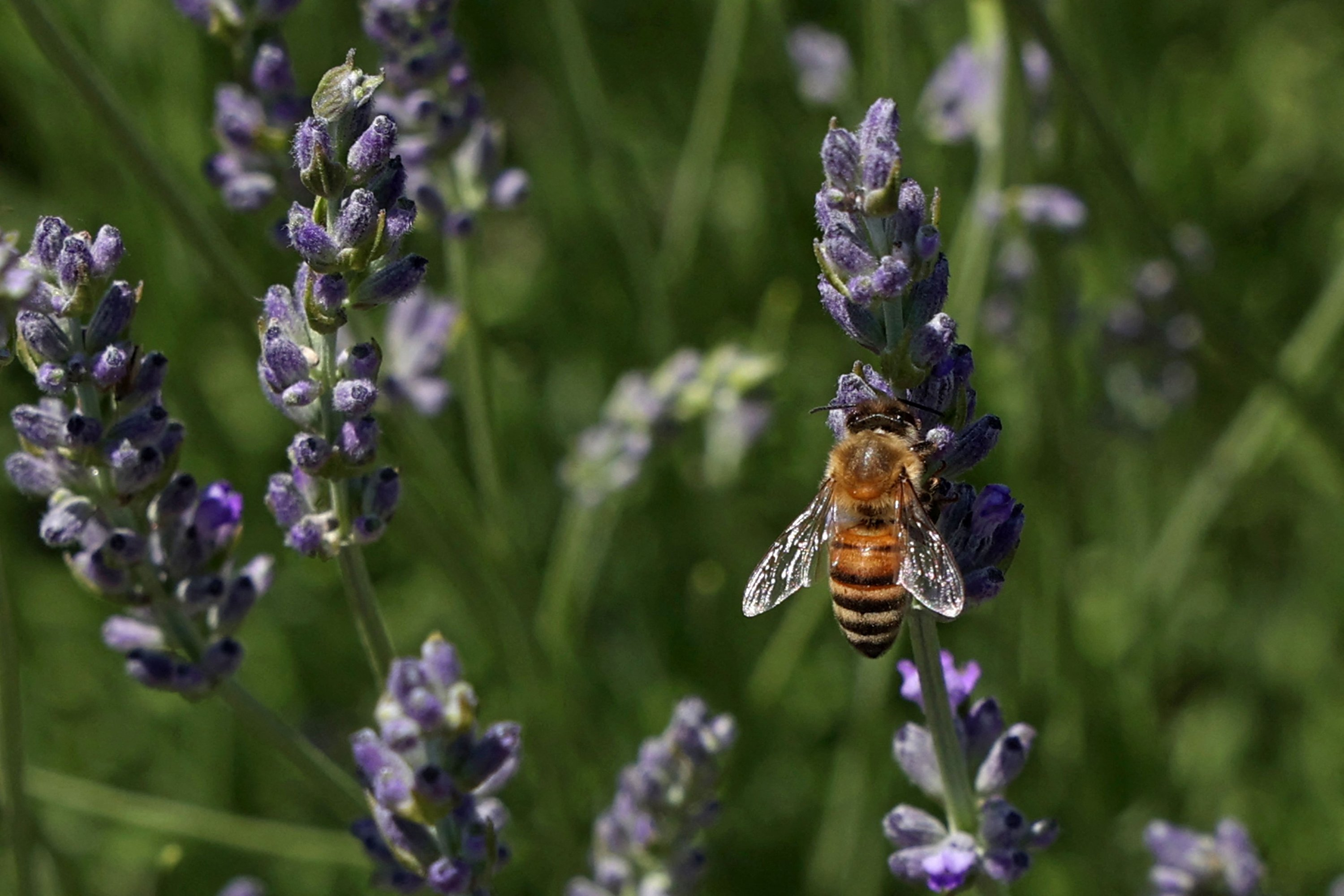 A honeybee collects pollen on a lavender plant at Cyherbia botanical park in the Cypriot village of Avgorou in southwestern Famagusta District, Cyprus, June 8, 2021. (AFP Photo)