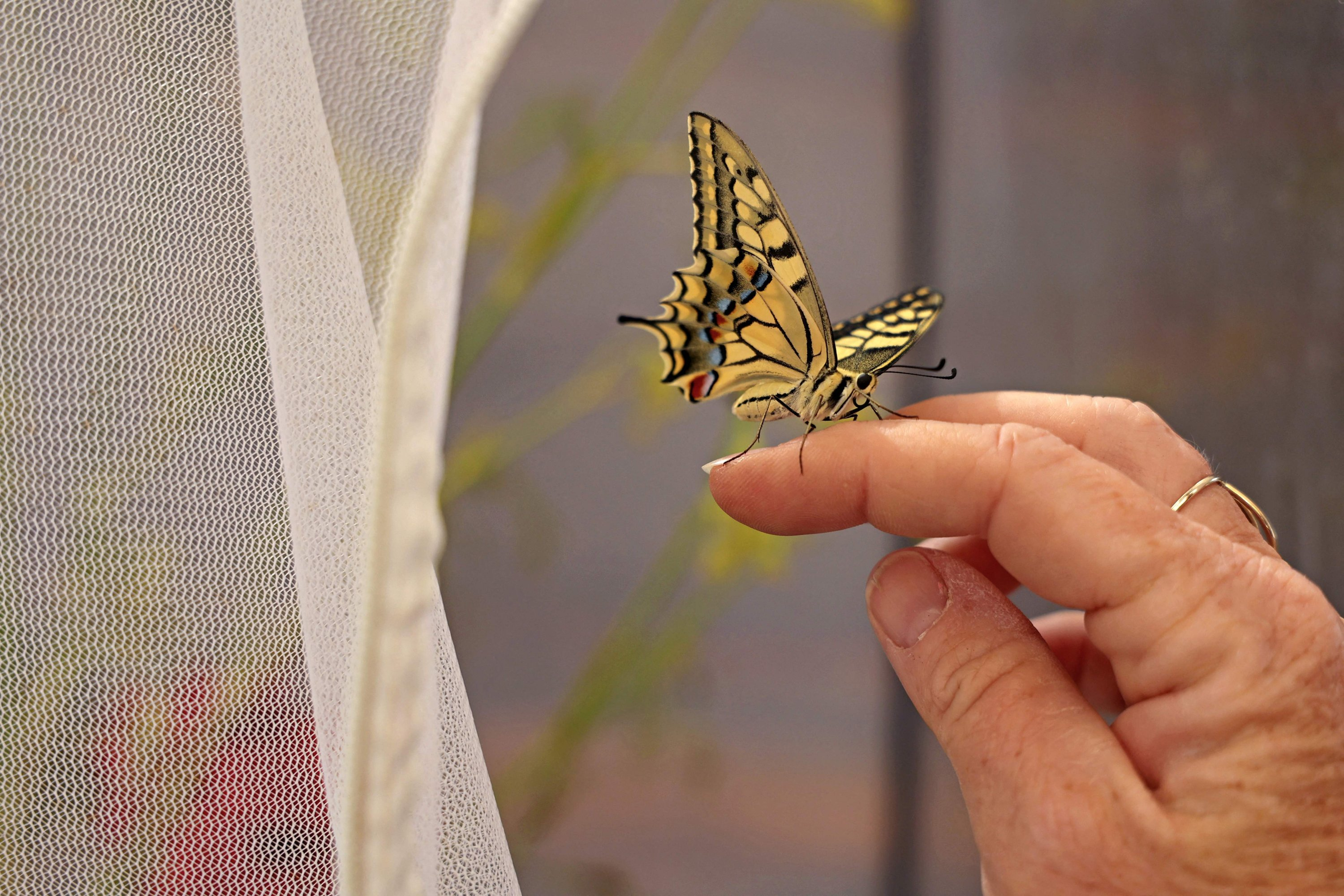 Owner Miranda Tringis takes out a butterfly, known as the eastern tiger swallowtail, from a mesh cage  used for raising butterflies at Cyherbia Botanical Park in the Cypriot village of Avgorou in southwestern Famagusta District, Cyprus, June 8, 2021. (AFP Photo)