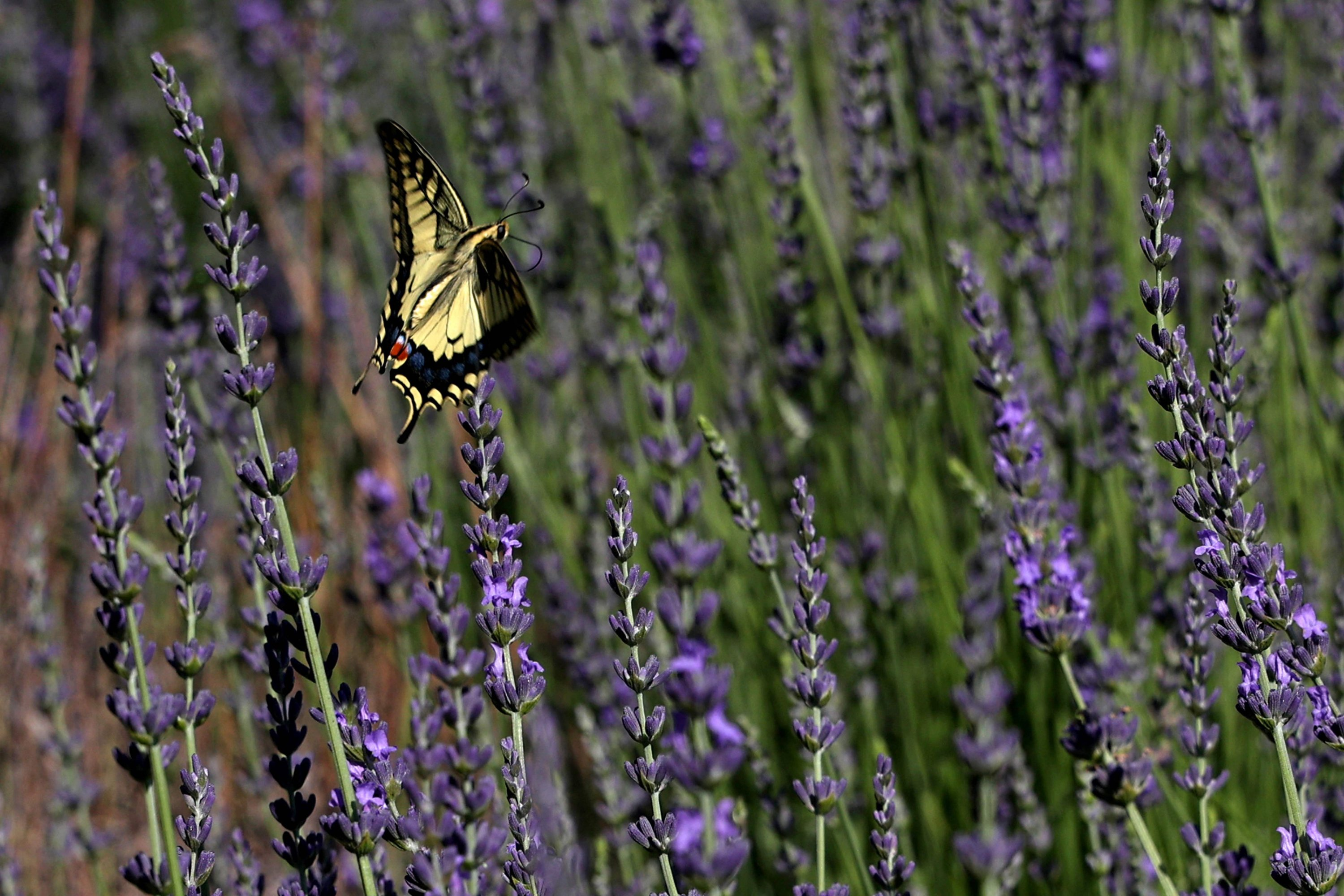 A butterfly flies over lavender plants at Cyherbia botanical park in the Cypriot village of Avgorou in southwestern Famagusta District, Cyprus, June 8, 2021. (AFP Photo)