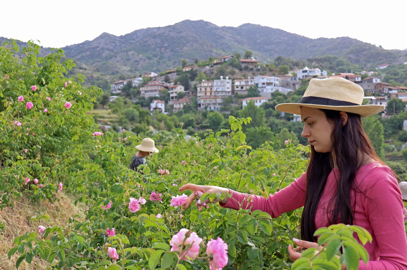 Elena Tsolakis harvests the Damask roses for oil extraction in the small mountain village of Agros standing of the Troodos mountain range, Cyprus, May 6, 2021. (AFP Photo)