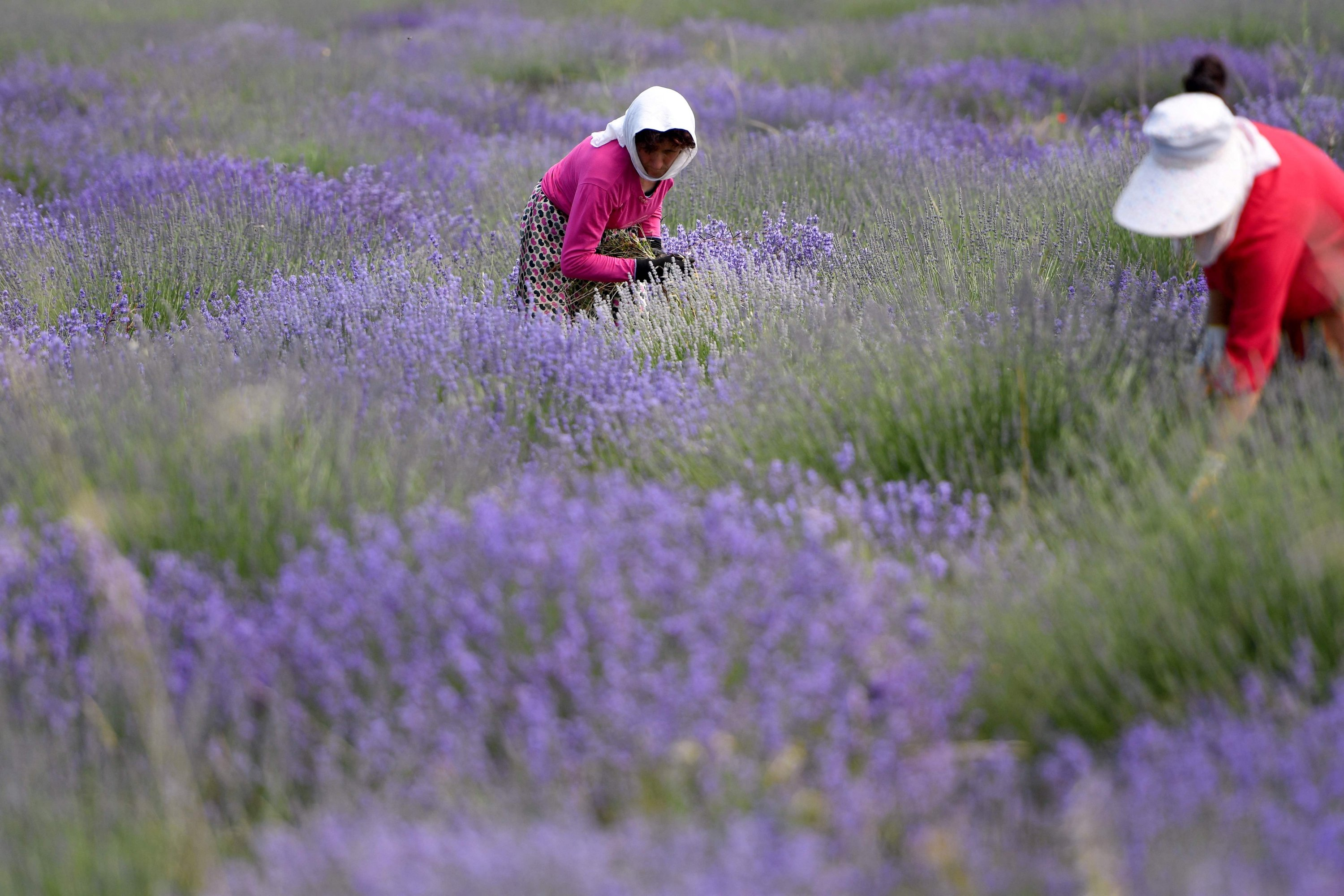 Women remove weeds from a lavender field in the village of Koplik, Albania, June 11, 2021. (AFP Photo)
