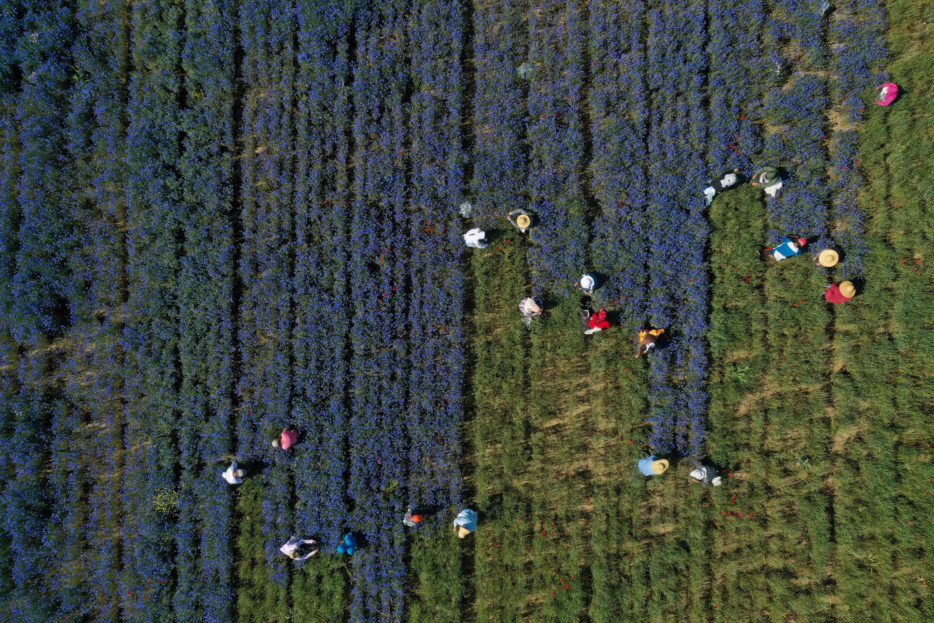 An aerial view shows farmers picking up medicinal herb Centaurea cyanus, commonly known as cornflower, in the village of Sheqeras near the city of Korca, Albania, June 16, 2021. (AFP Photo)