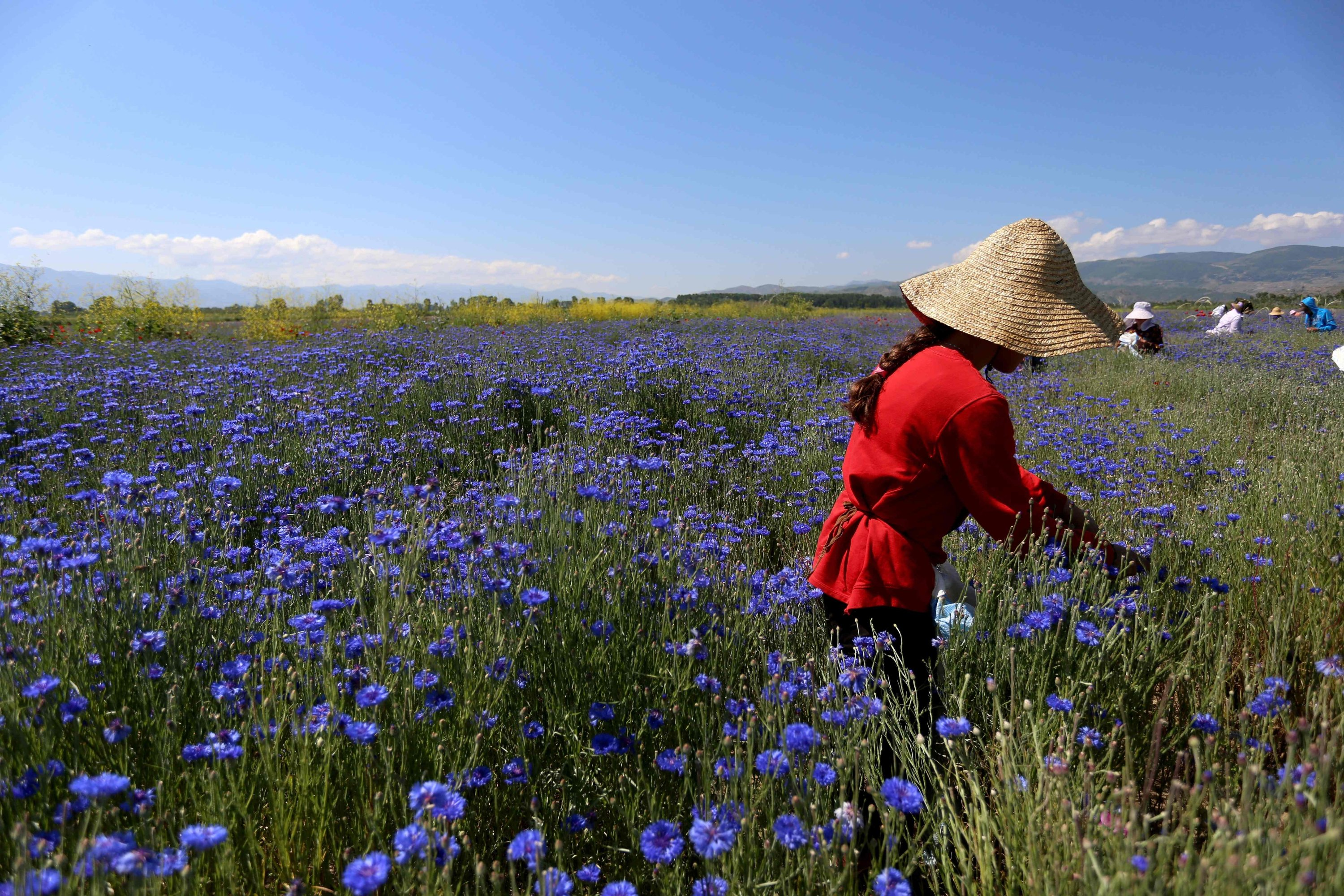 Farmers pick up medicinal herb Centaurea cyanus, commonly known as cornflower, in the village of Sheqeras near the city of Korca, Albania, June 16, 2021. (AFP Photo)