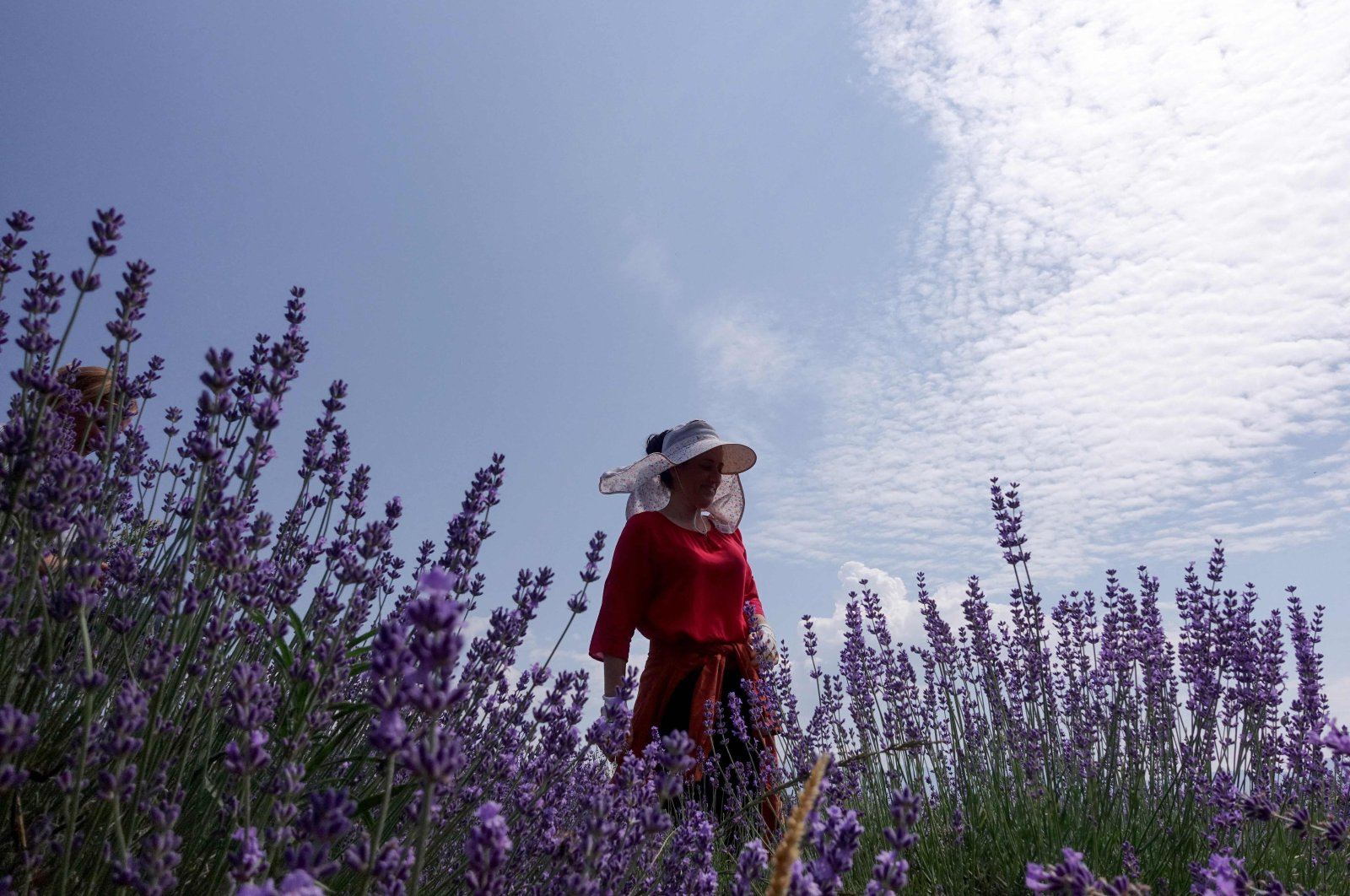 A woman removes weeds from a lavender field in the village of Koplik, Albania, June 11, 2021. (AFP Photo)