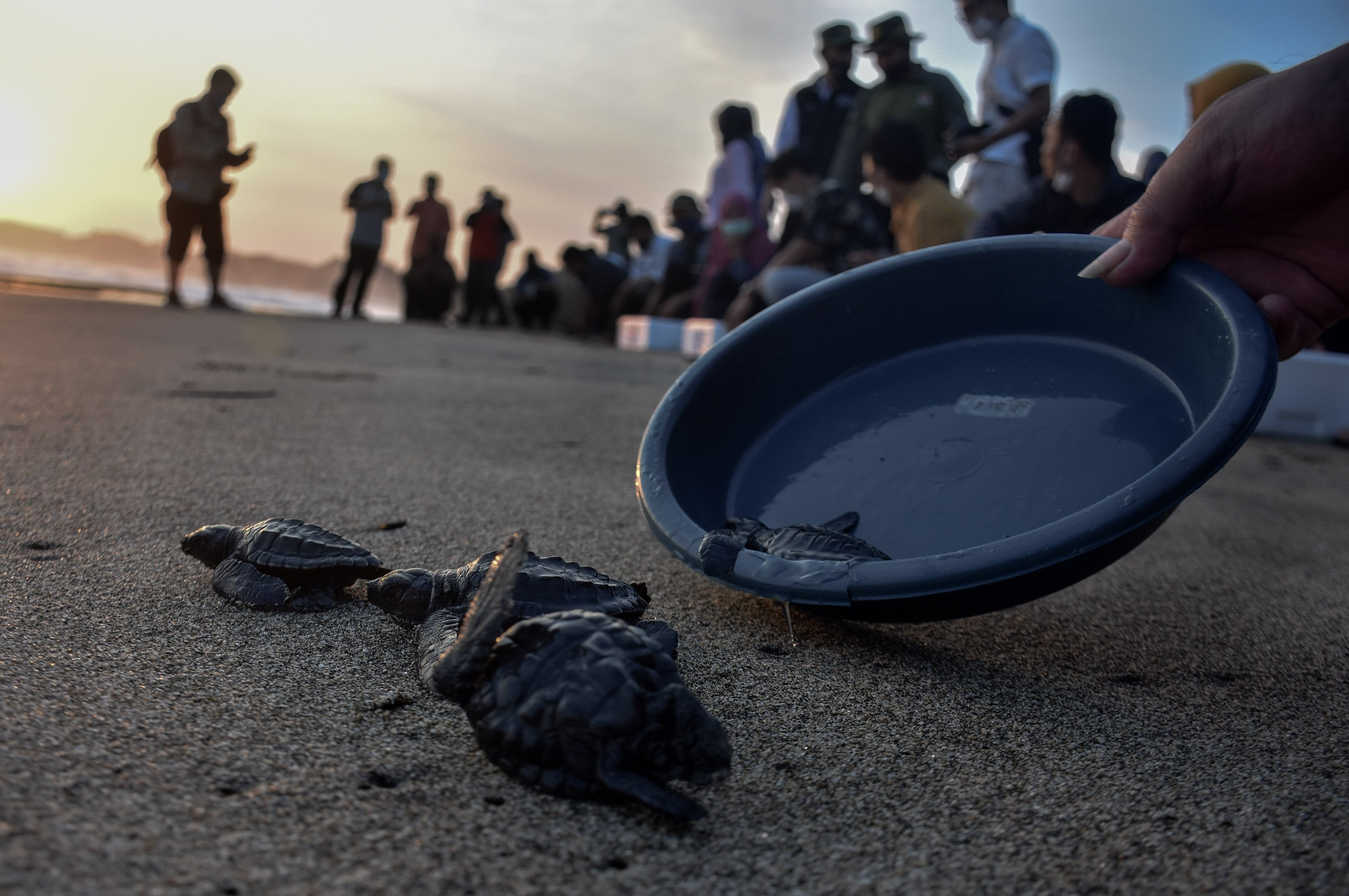 Several 3-week-old baby turtles (Chelonia mydas) run to the high seas after being released on Bajul Mati Beach, Malang, East Java, Indonesia, on Sep. 10, 2020. (Getty Images)