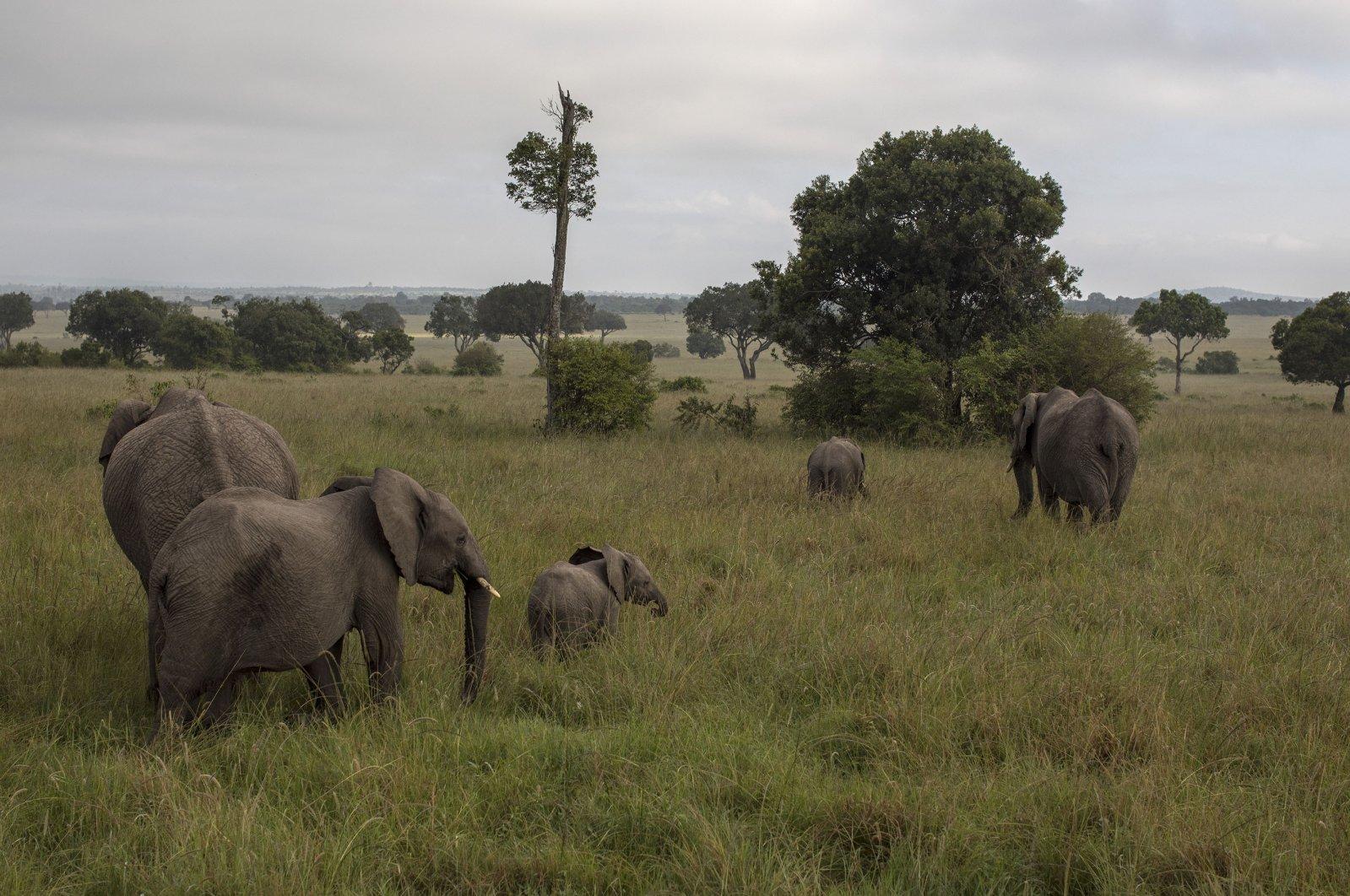 A herd of elephants graze in plains of the Mara North Conservancy, Kenya, Dec 21, 2020. (Getty Images)