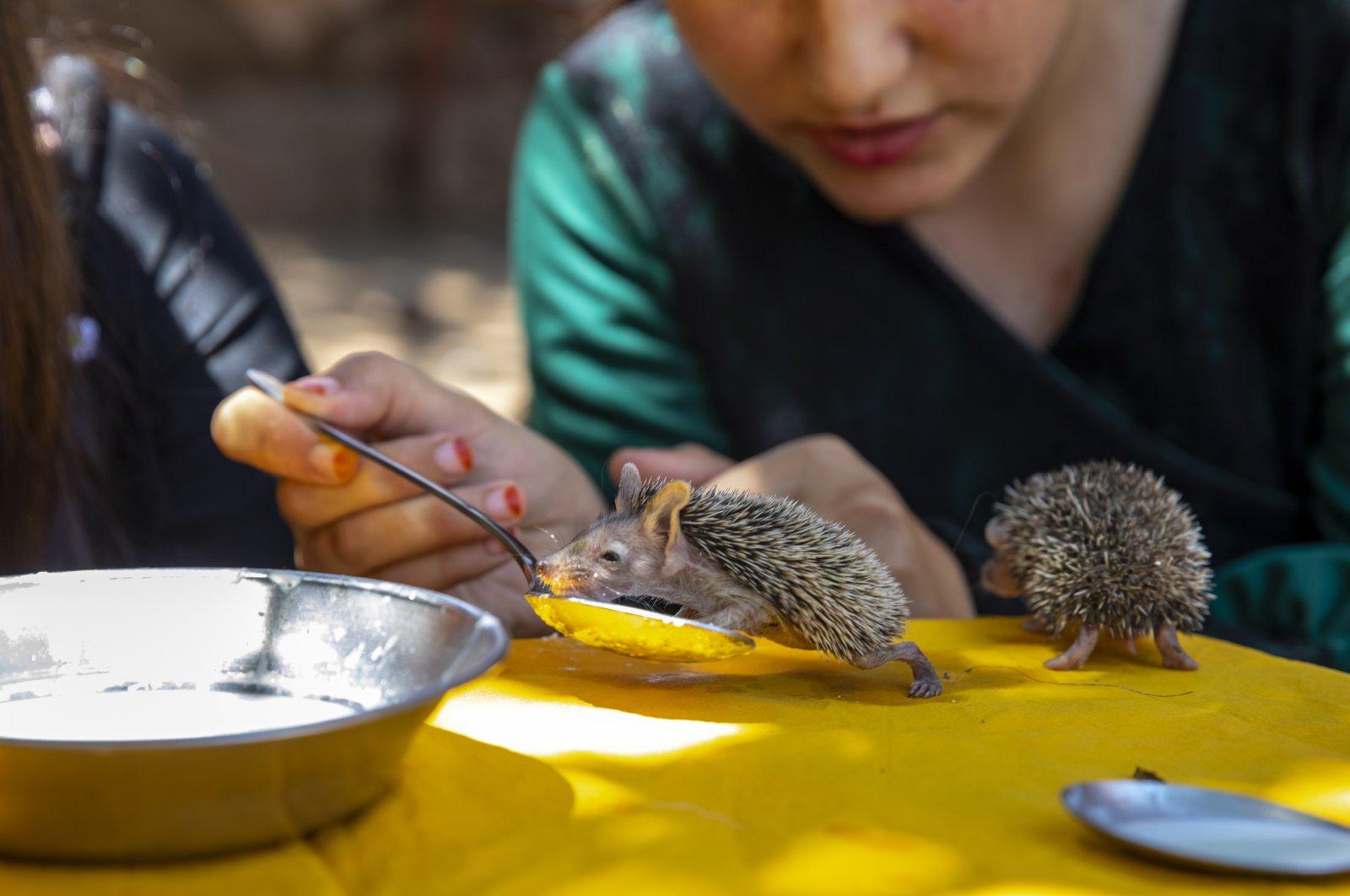 The Süer children feed the baby hedgehogs in Diyarbakır, southeastern Turkey, July 8, 2021. (AA PHOTO)
