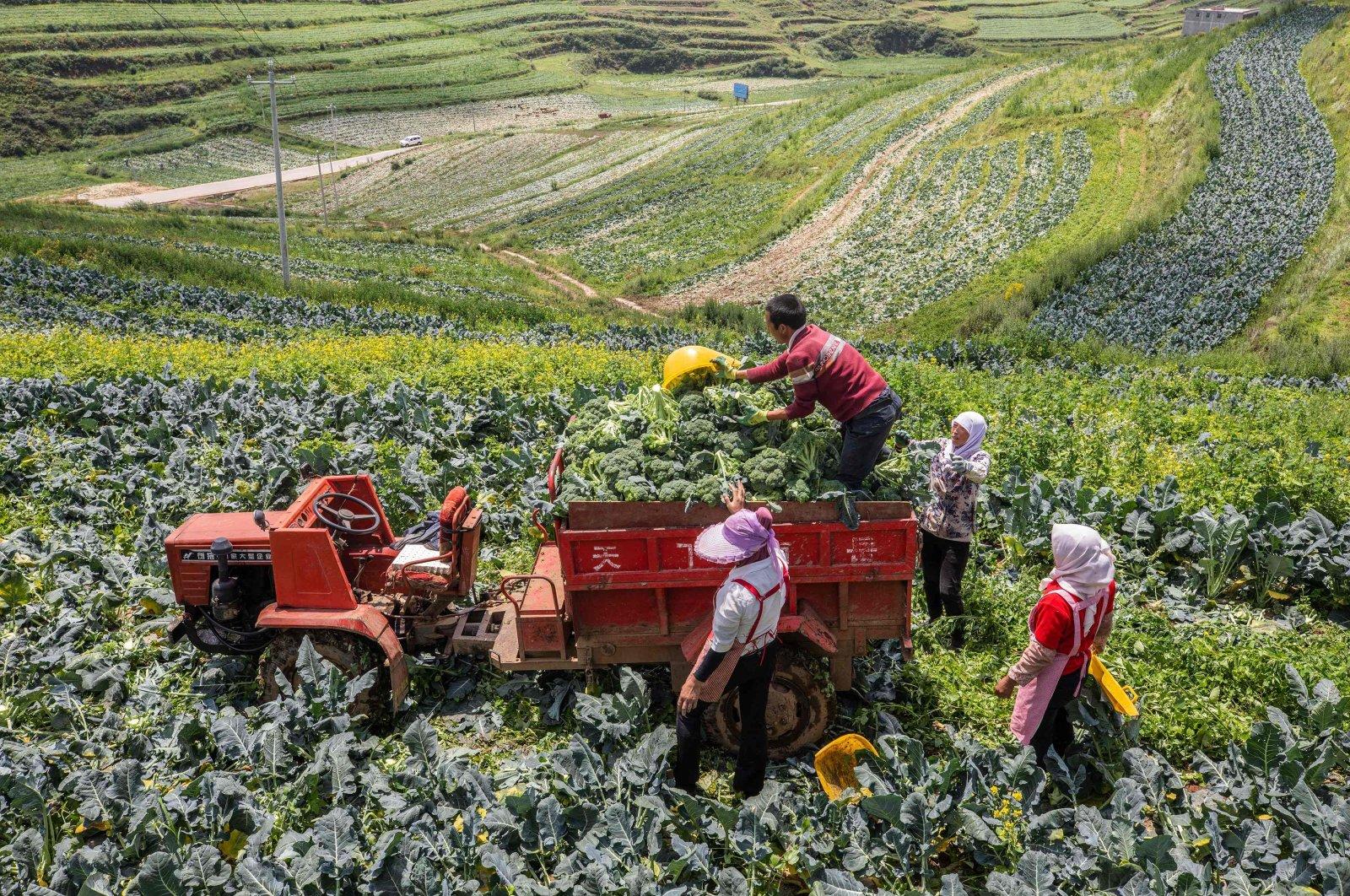 Farmers harvest broccoli in a field in Bijie in China's southwestern Guizhou province, July 8, 2021. (AFP Photo)