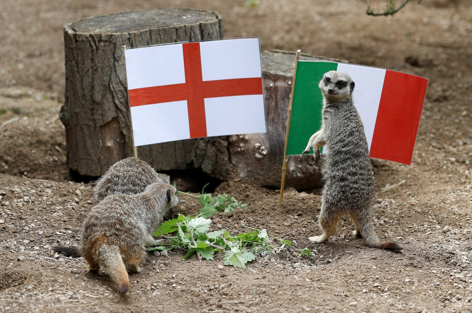 Meerkats play alongside England and Italy flags ahead of the Euro 2020 final, at ZSL London Zoo, London, England, July 8, 2021. (Reuters Photo)