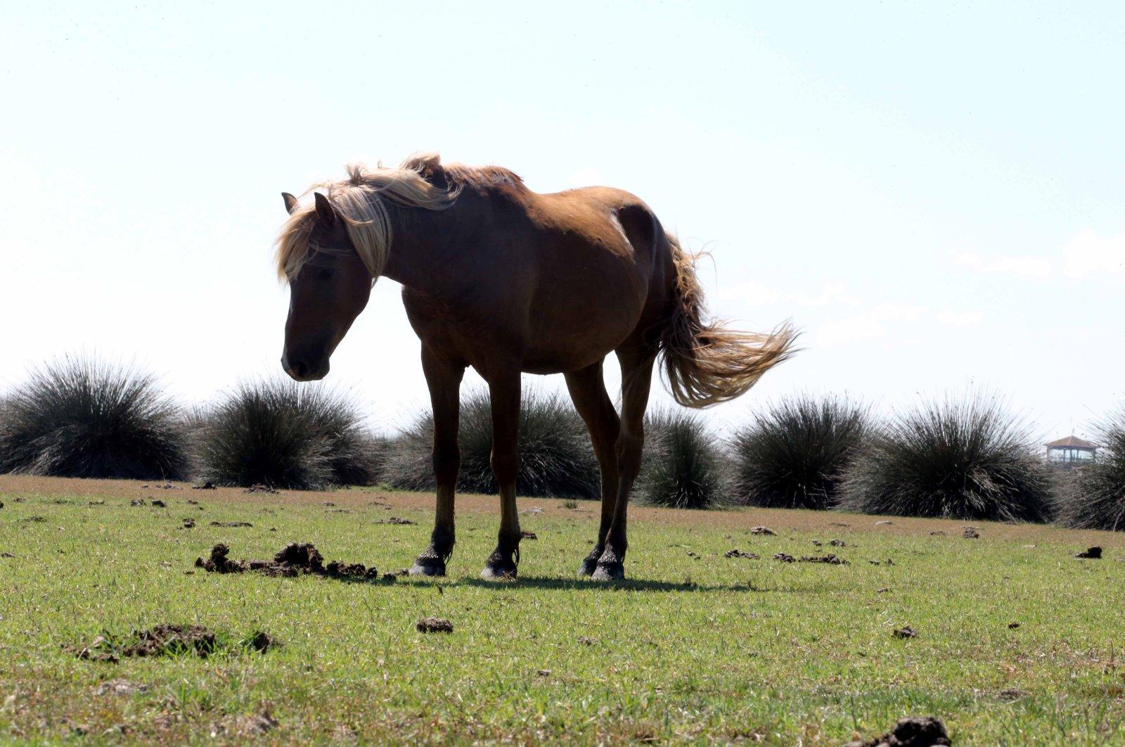 Yılkı horses, or Anatolian free-roaming horses. (AA Photo)