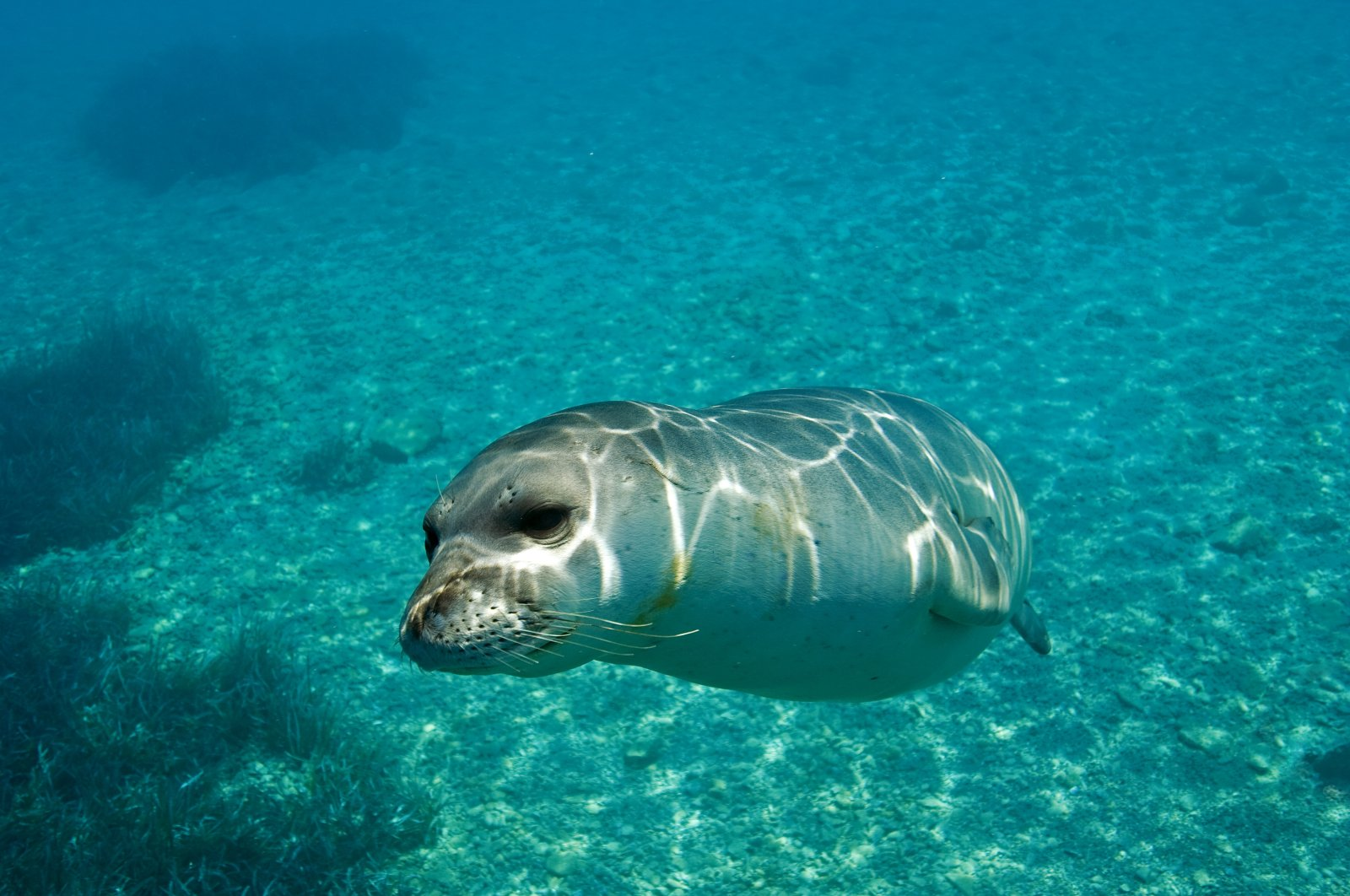 Turkey is among the four countries where these monk seals live. (Shutterstock Photo)