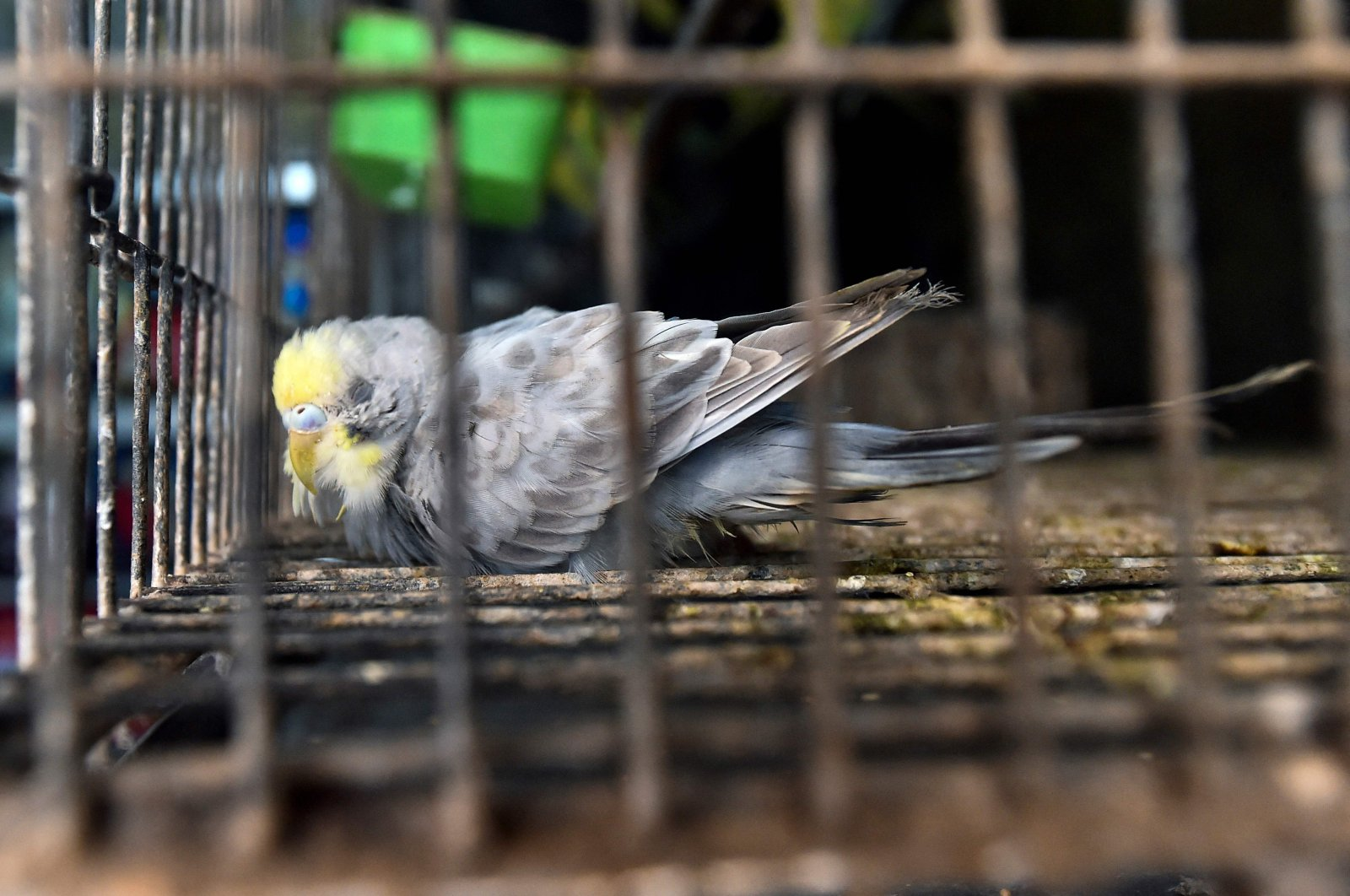 A bird is seen in a cage inside a closed pet shop in Dhaka, Bangladesh, July 14, 2021. (AFP Photo)