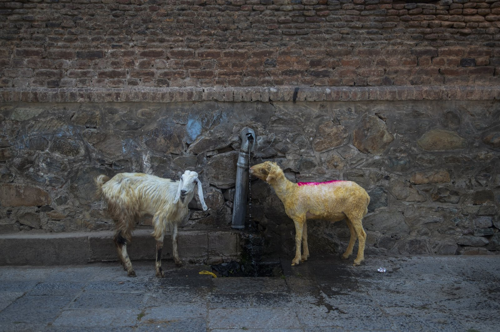 A sheep that is brought for sale ahead of the upcoming Muslim festival of Eid al-Adha drinks water in Srinagar, Indian-controlled Kashmir, India, July 11, 2021. (AP Photo)