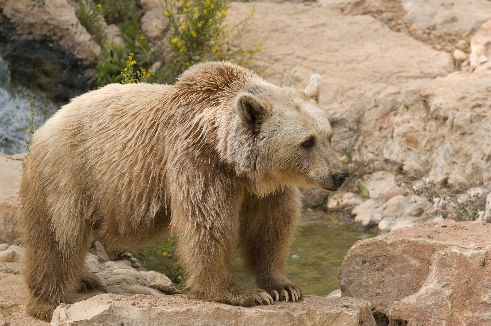 The Syrian brown bear (Ursus arctos syrianus) is the smallest subspecies of brown bear. (Shutterstock Photo)