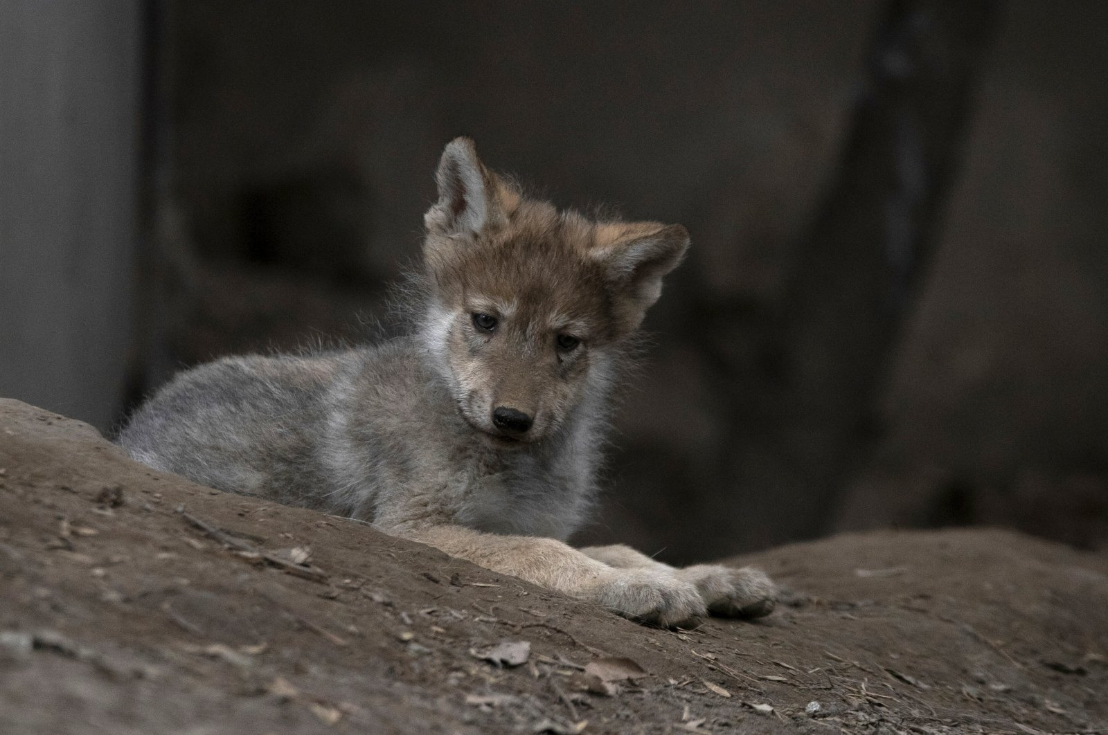 A Mexican wolf pup born April 24 lounges in an enclosure during a media presentation at the Chapultepec Zoo, Mexico City, Mexico, Thursday, June 17, 2021. (AP Photo).