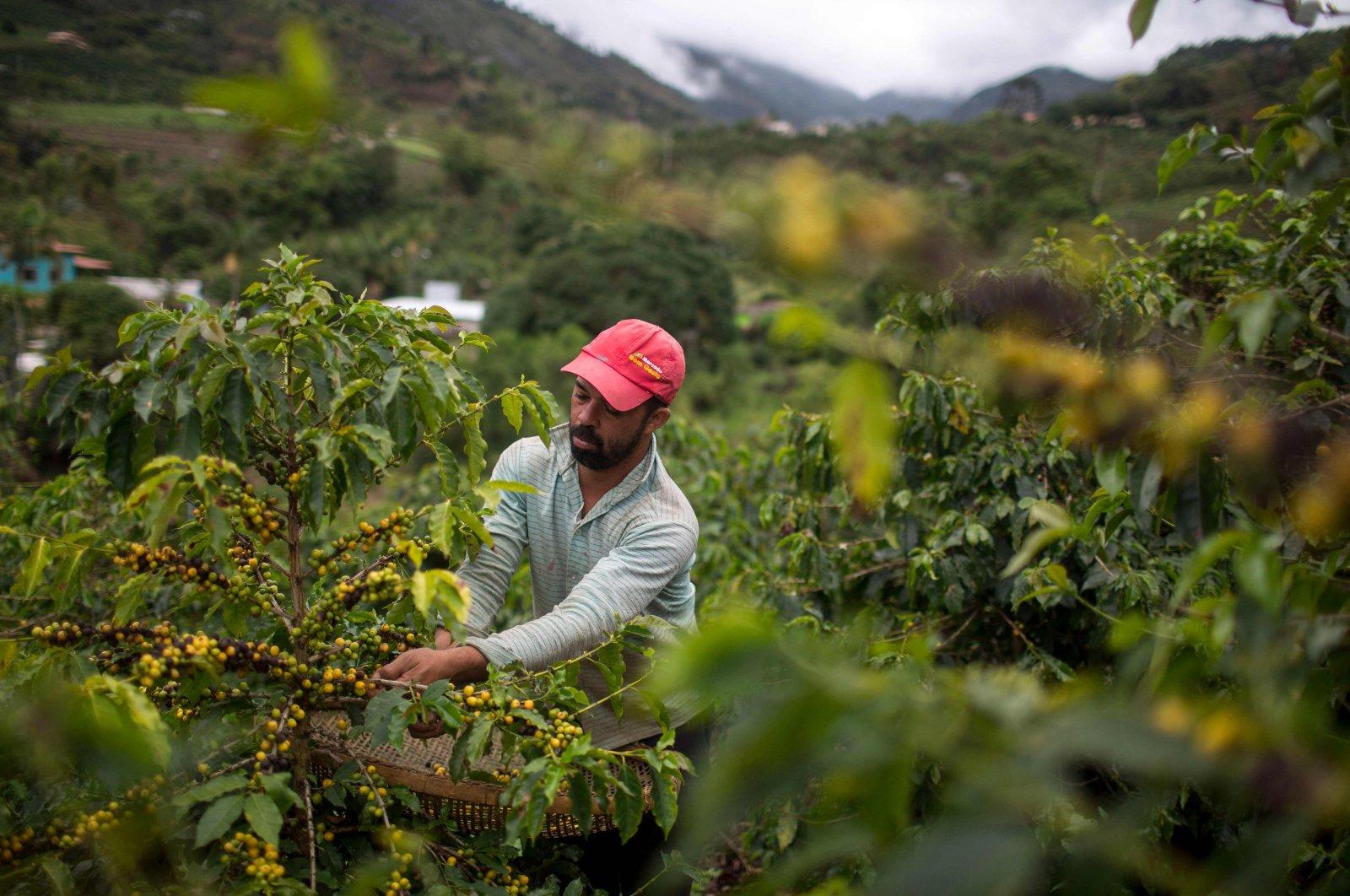 Farmer Joao Paulo Rodrigo, 33, picks coffee beans on his family farm in Forquilha do Rio, municipality of Dores do Rio Preto, Espirito Santo, Brazil, Nov. 23, 2017. (AFP Photo)