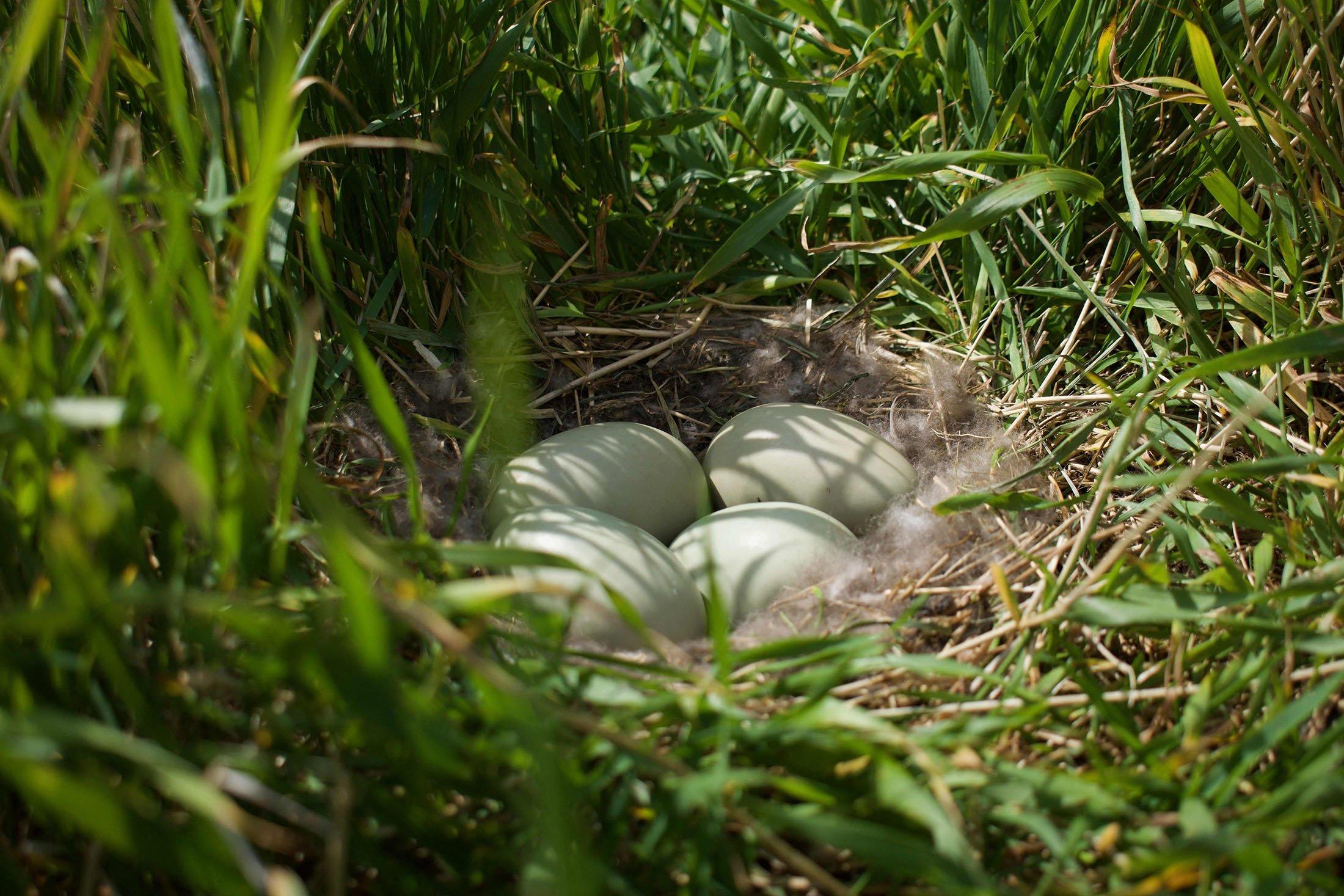 Four eggs lie in a eider nest filled with eiderdown on a meadow on the Bjarneyjar island, Breidafjordur Bay, Iceland, July 4, 2021. (AFP Photo)