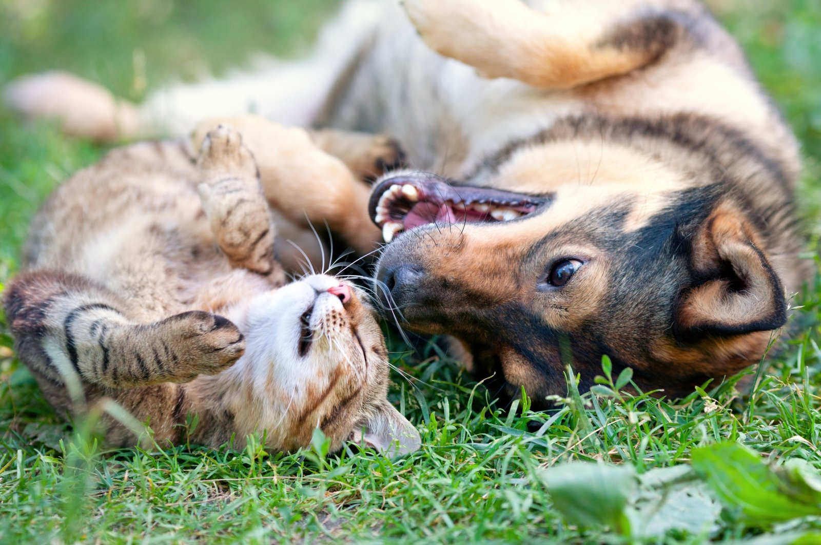 Dog and cat playing together in the outdoors. (Shutterstock Photo)