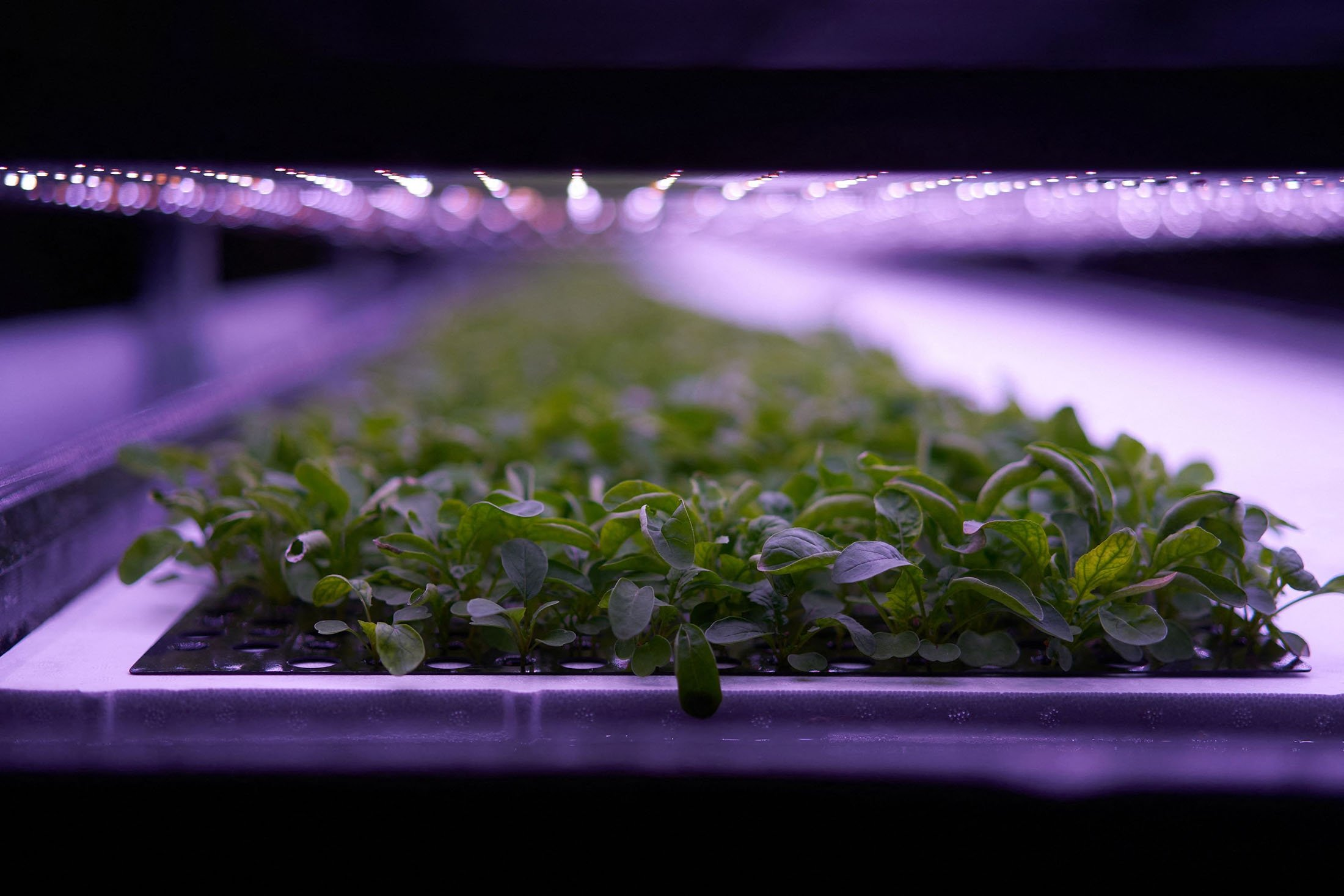 """Plants cultivated at the vertical plant farm """"Nordic Harvest"""" based in Taastrup, a suburb west of Copenhagen, Denmark, Nov. 20, 2020. (AFP Photo)"""