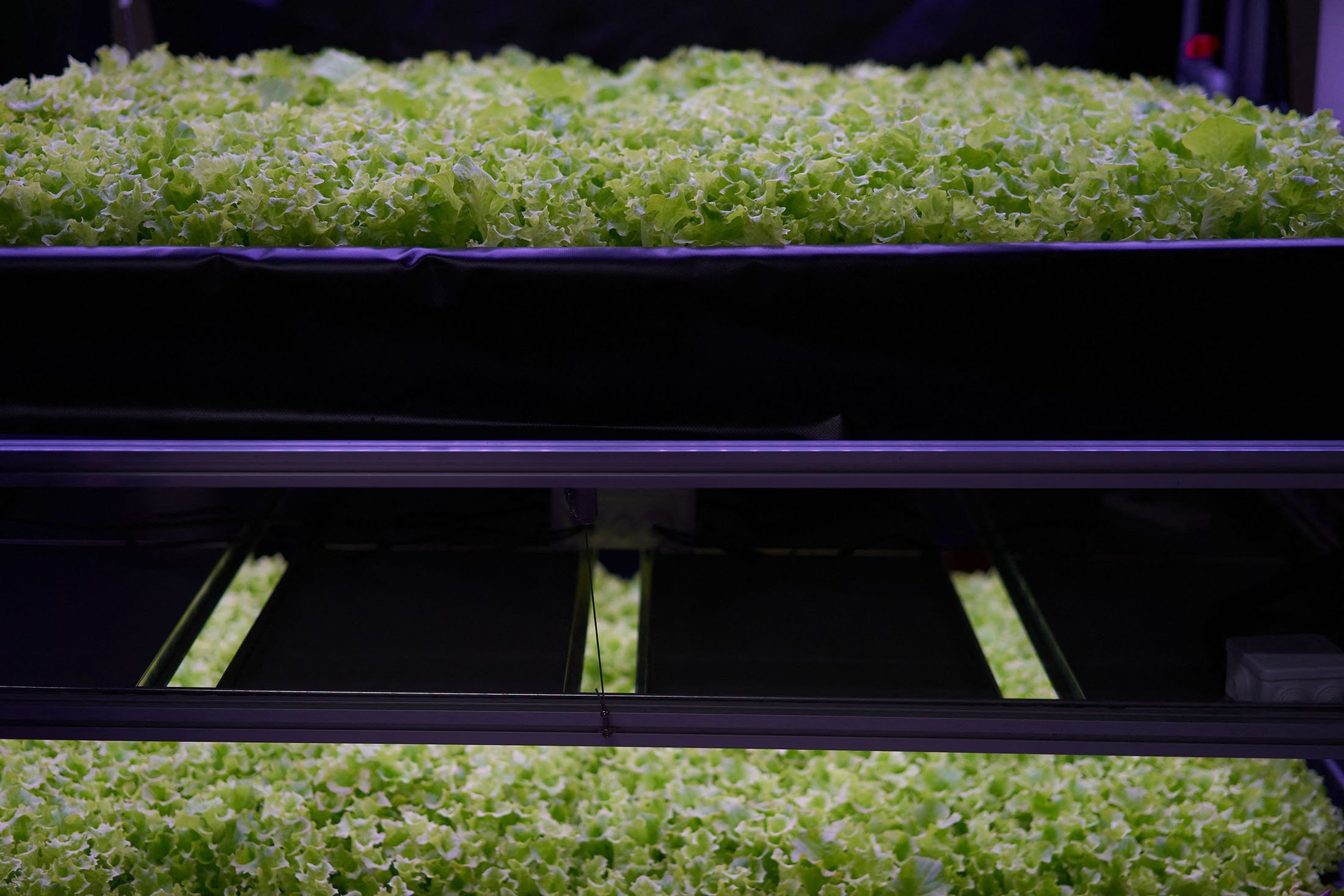 """Salad is cultivated at the vertical plant farm """"Nordic Harvest"""" based in Taastrup, a suburb west of Copenhagen, Denmark, Nov. 20, 2020. (AFP Photo)"""