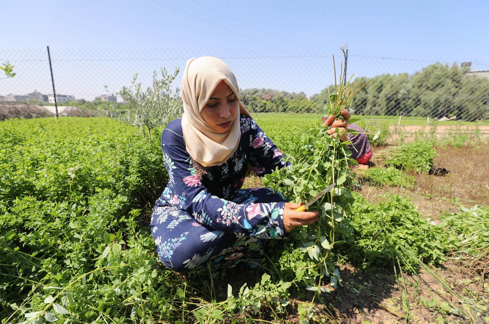 A Palestinian woman collects mint in her family land, in Beit Lahiya town, northern Gaza Strip, July 28, 2021. (Reuters Photo)