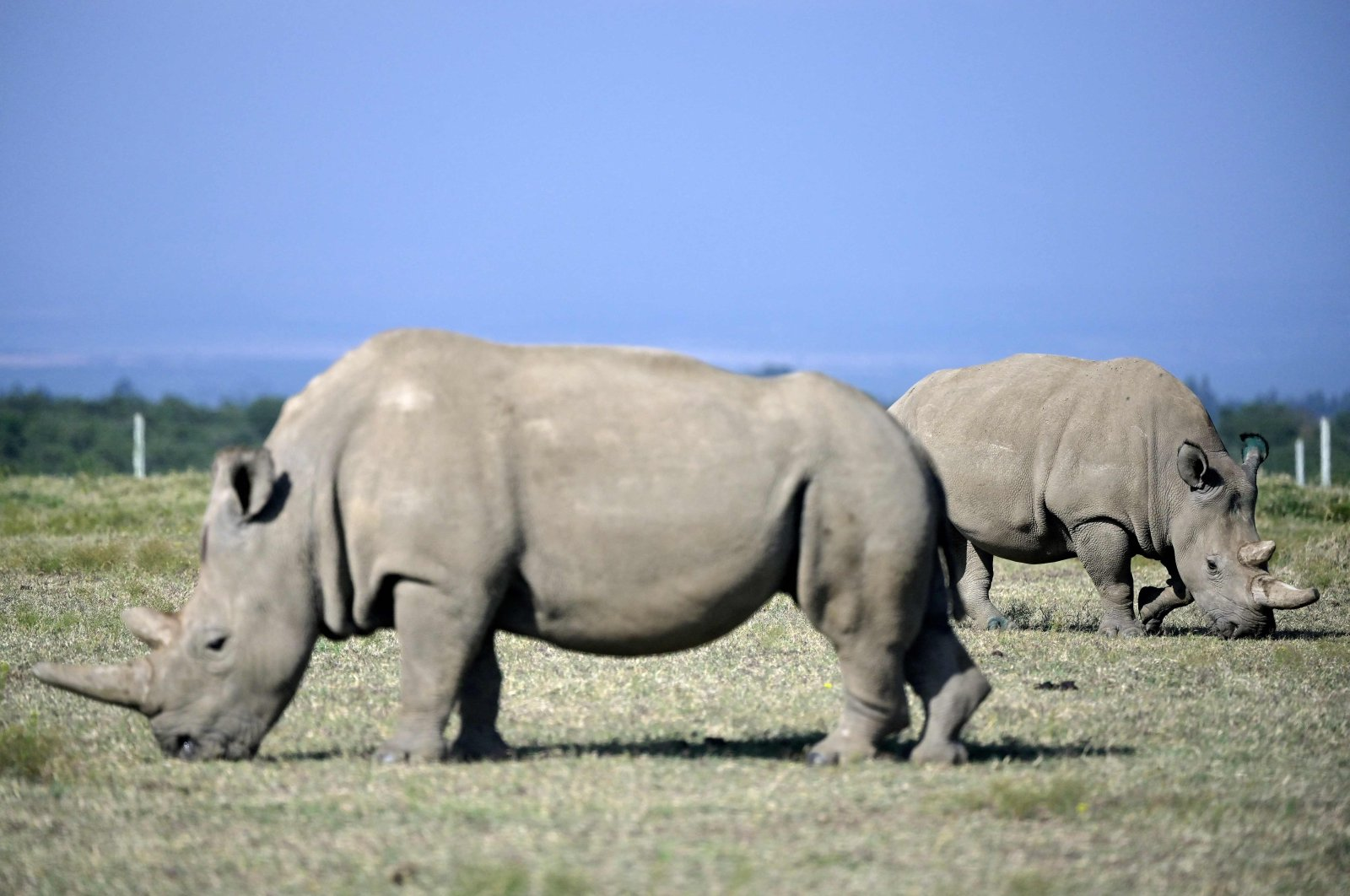 Fatu (R), 19, and her mother Najin, 30, two female northern white rhinos, the last left on the planet, graze in their secured paddock at The Ol Pejeta Conservancy in Nanyuki, some 147 kilometers (91 miles) north of the capital, Nairobi, Kenya, Aug. 23, 2019. (AFP Photo)