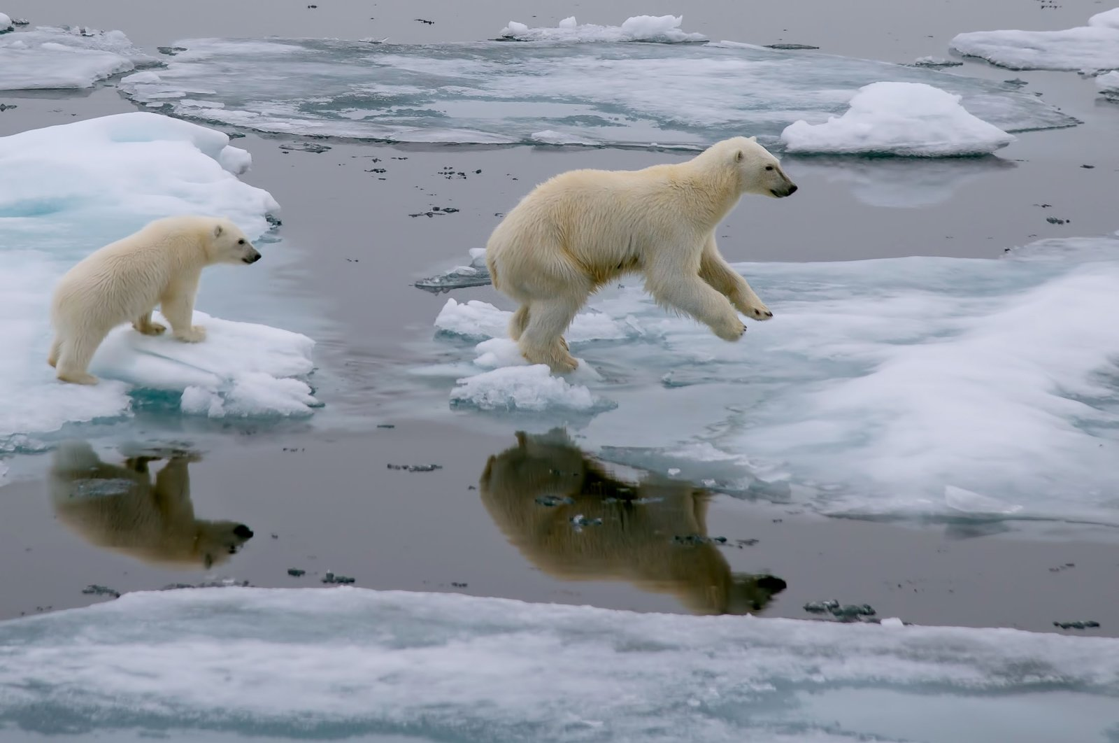 A mother polar bear leads her cub through an ice floe in the Arctic Ocean, north of Svalbard, Norway. (Shutterstock Photo)