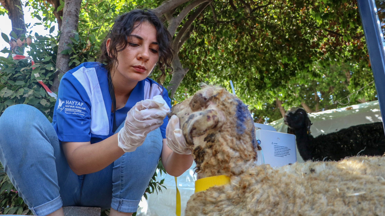 A hospital staff treats an injured sheep, in Manavgat, in Antalya, southern Turkey, Aug. 2, 2021. (DHA PHOTO)
