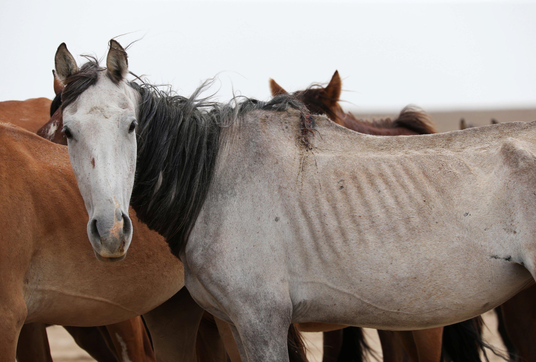 Horses graze in the steppe outside the village of Akshymyrau amid severe drought in Mangistau Region, Kazakhstan, on July 27, 2021. (Reuters Photo)