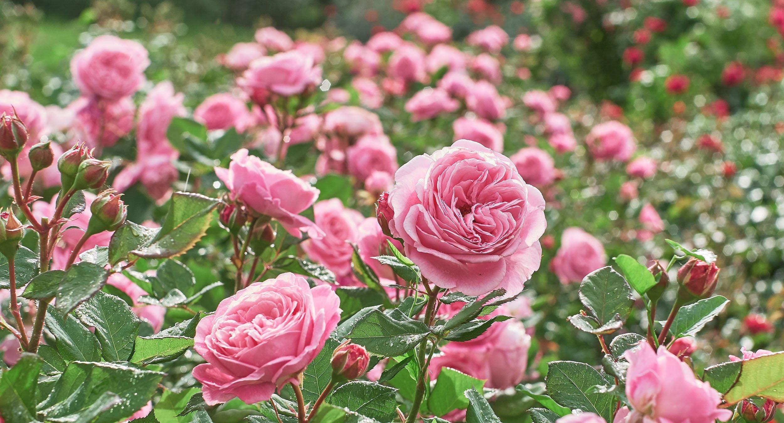 A pink rose garden. (Shutterstock Photo)