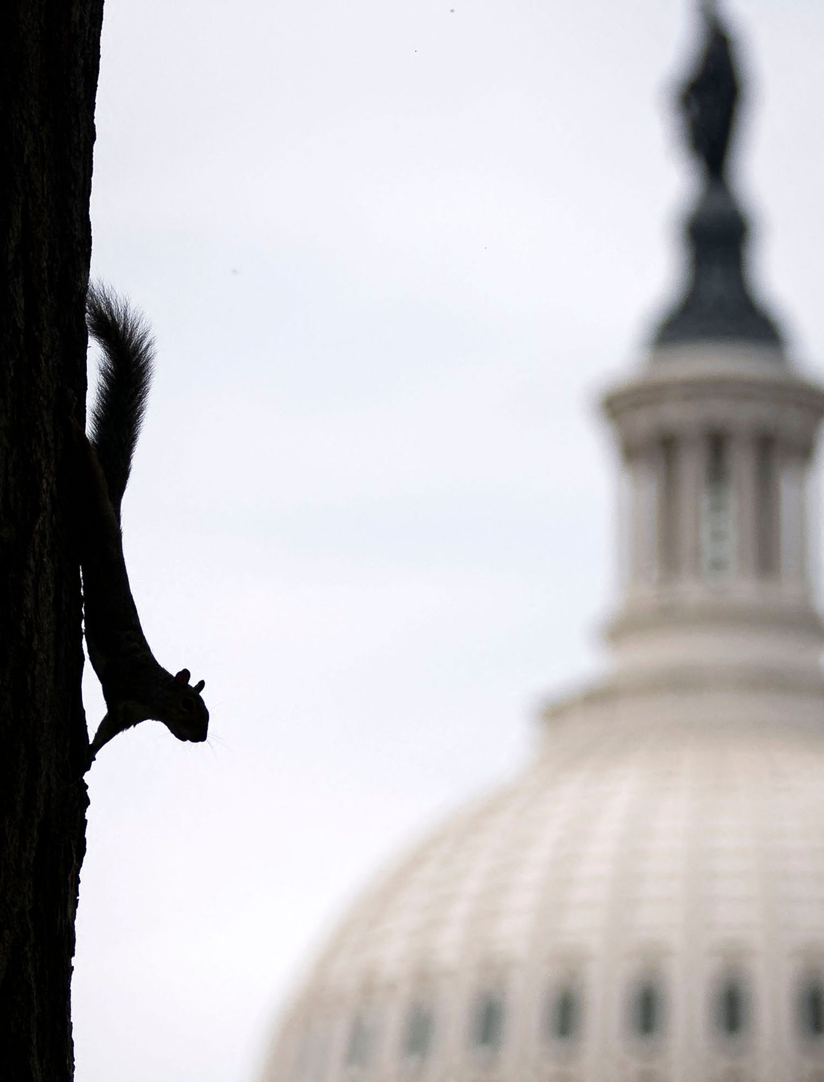 A squirrel climbs down a tree near the United States Capitol in Washington, U.S., Sept. 28, 2020. (AFP Photo)