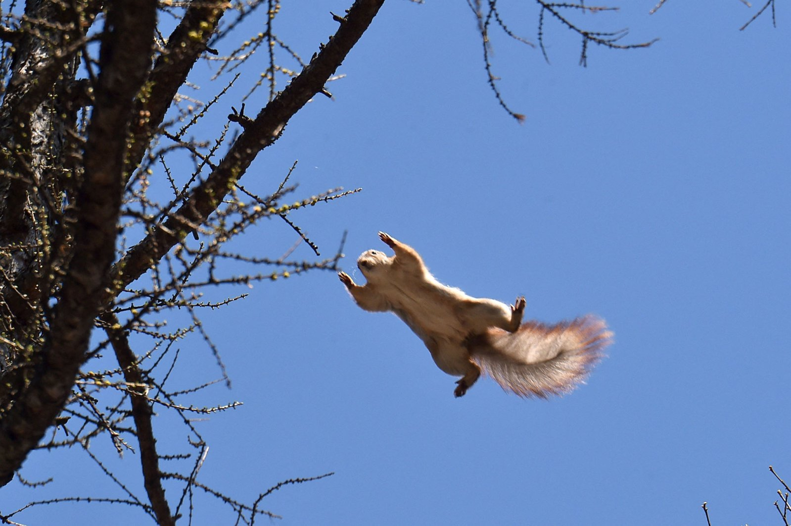 A squirrel jumps to a tree branch in Kiev, Ukraine, March 30, 2017. (AFP Photo)