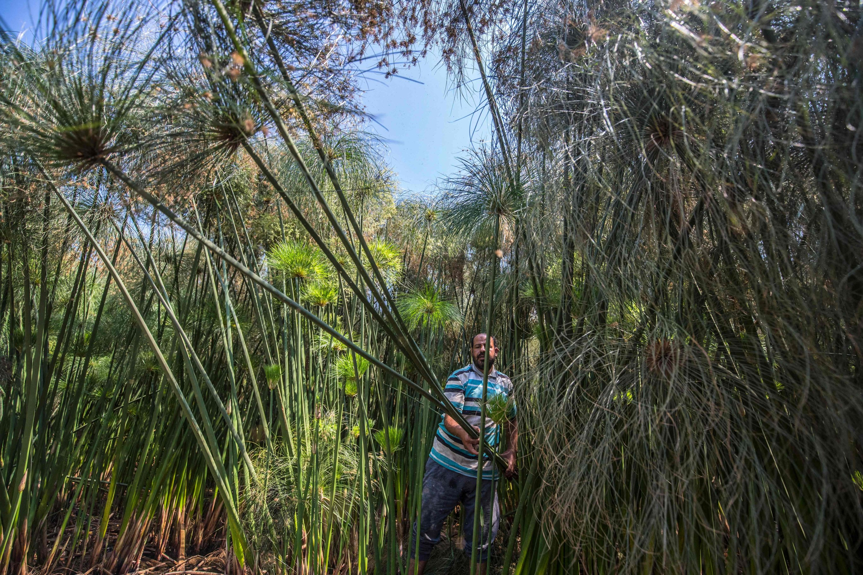 Abdel Mobdi Moussalam, 48, cuts papyrus reeds from his land in the village of al-Qaramous in Sharqiyah province, in Egypt
