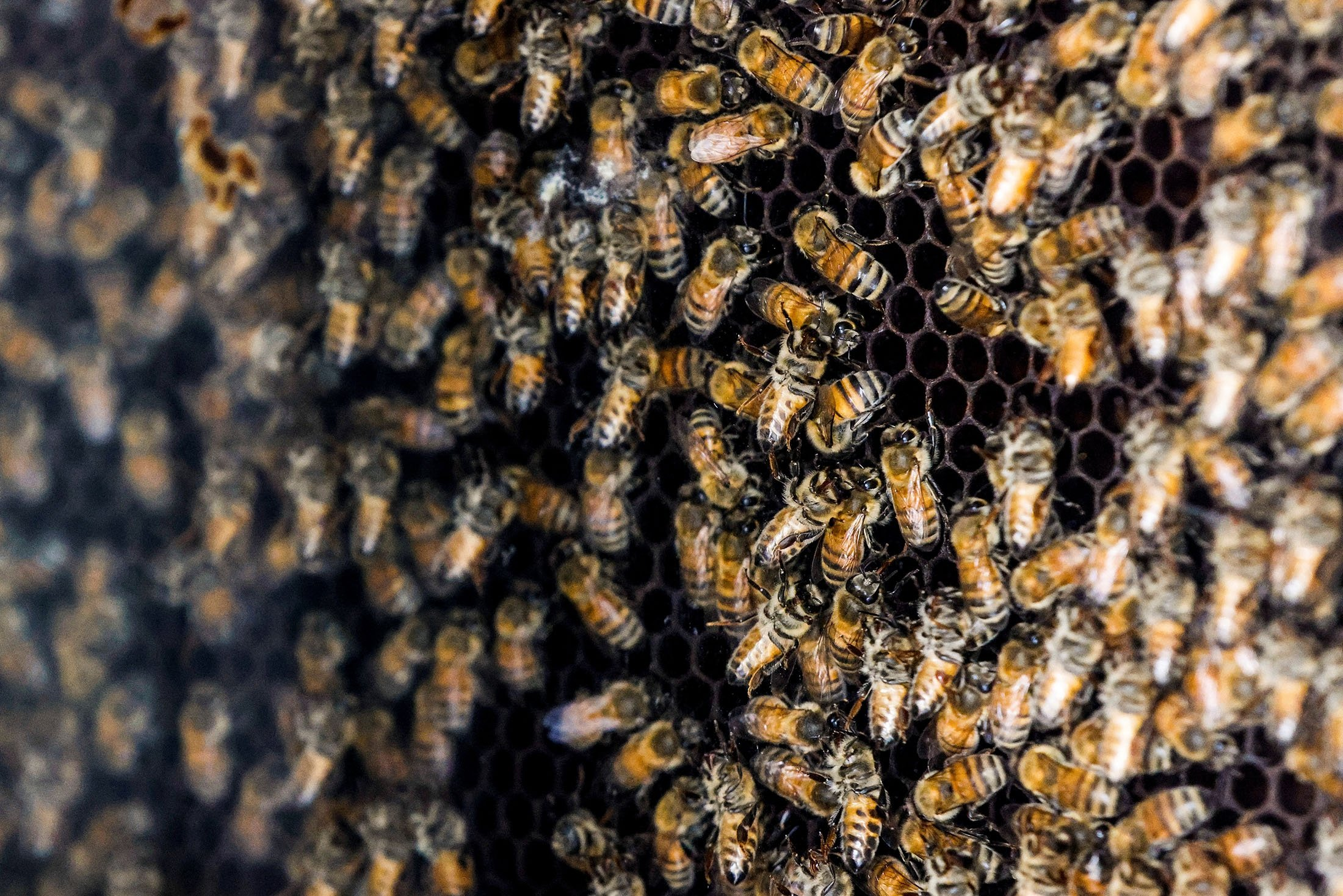 Bees swarm a honeycomb, a part of a robotic beehive developed by Israeli startup Beewise, in Beit Haemek, Israel, July 29, 2021. (Reuters Photo)