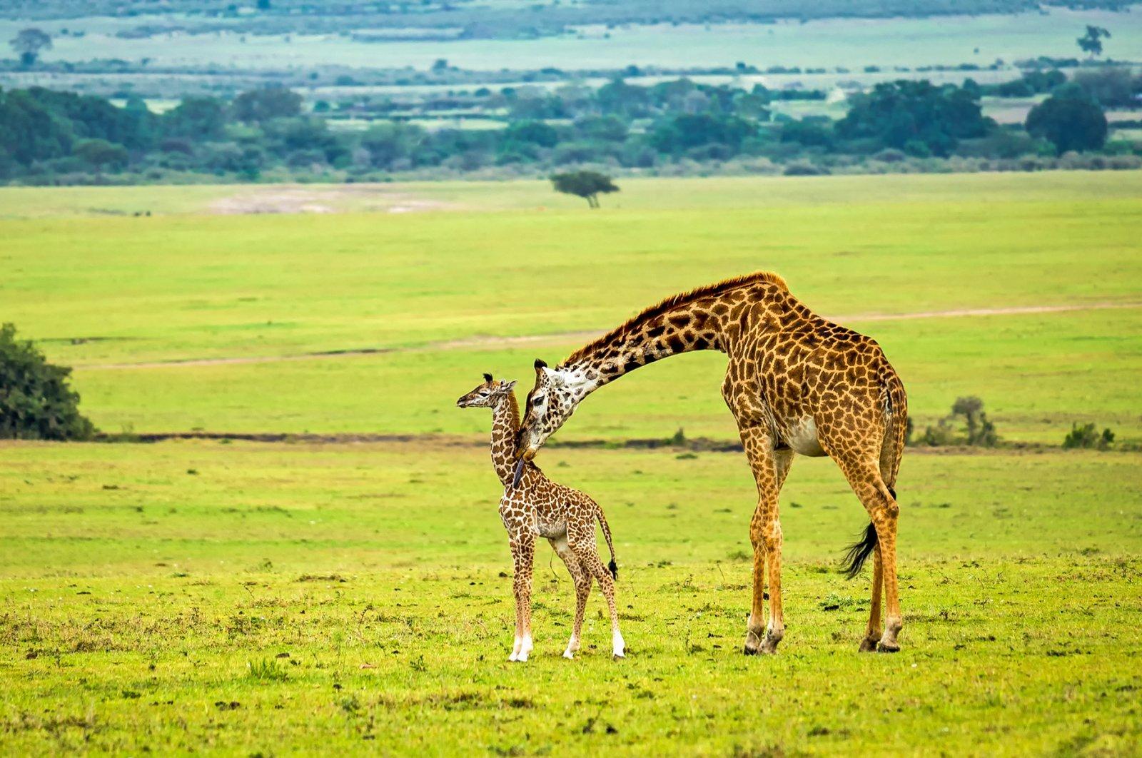 A mother giraffe cleans the back of her baby,Maasai Mara National Reserve, Kenya. (Shutterstock Photo)