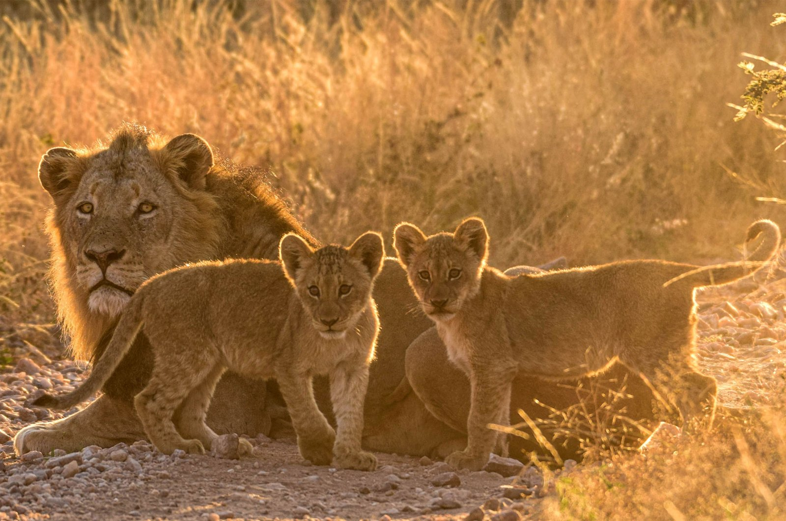 World Animal Protection warns of alarming decreases in wild African lion populations on World Lions Day, Aug. 10, 2021. (Shutterstock Photo)