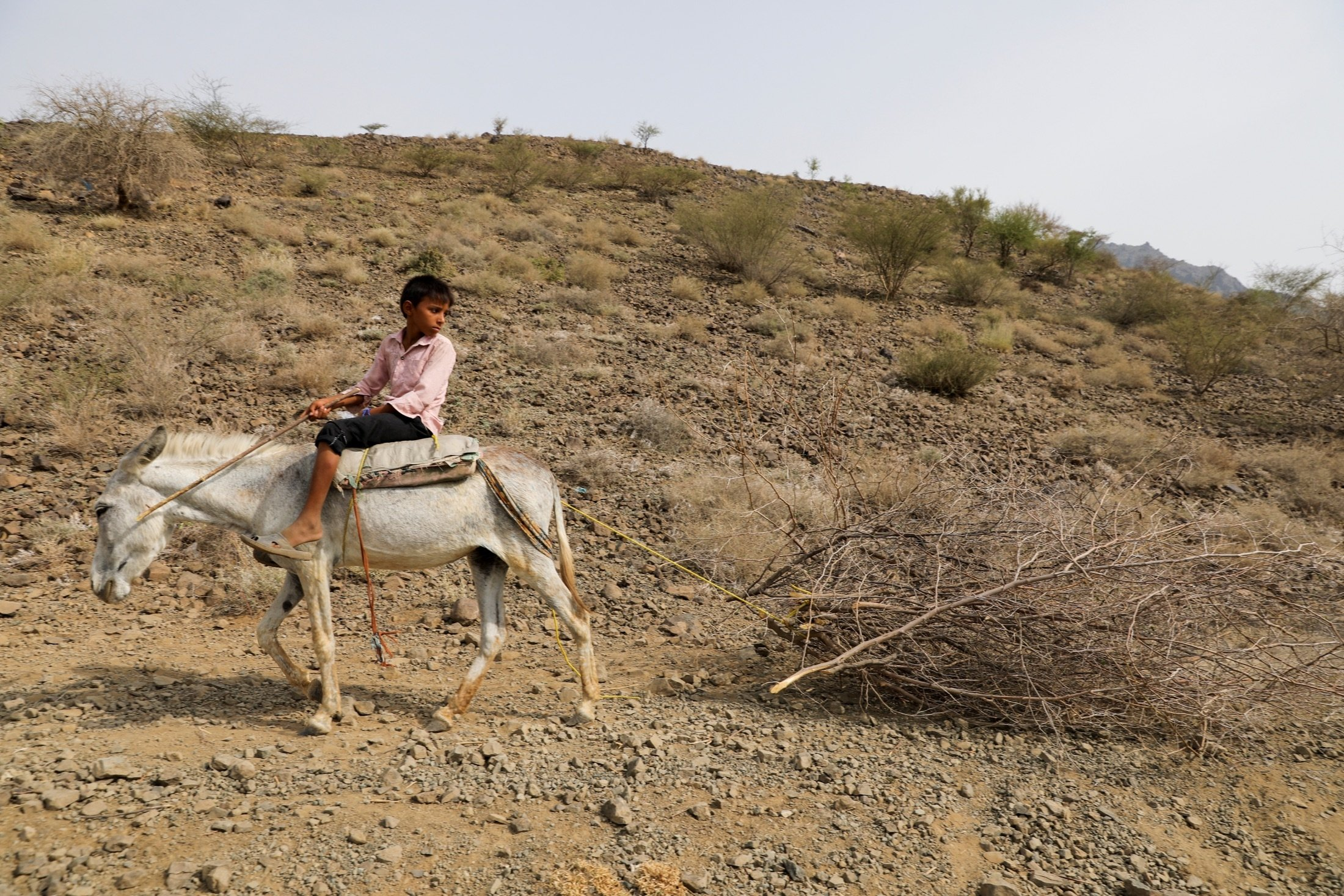 A boy who works as a lumberjack, rides a donkey as it drags a logged tree in Bajil district of Hodeida province, Yemen, June 24, 2021. (Reuters Photo)