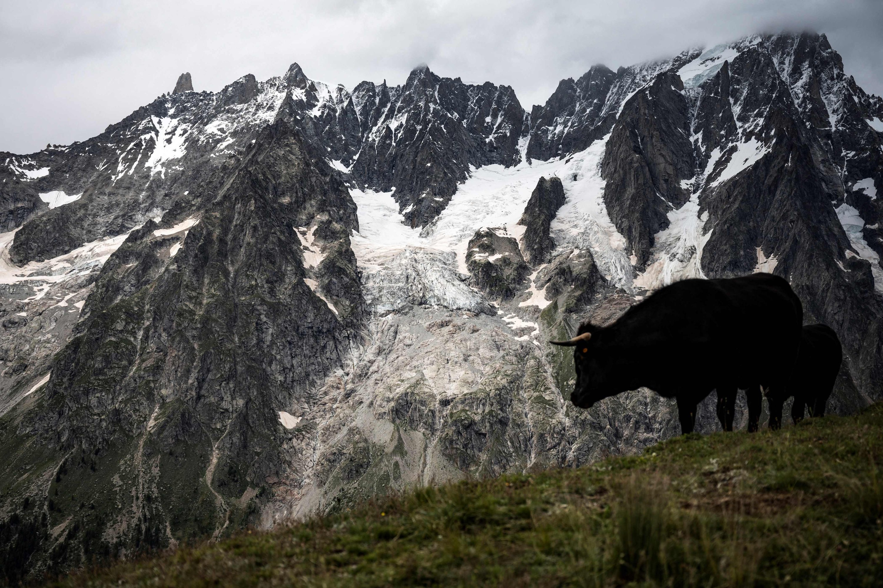 A cow grazes near the Planpincieux Glacier (C) on the Mont La Sax in Courmayeur, Alps Region, north-western Italy, on Aug. 3, 2021. (AFP Photo)