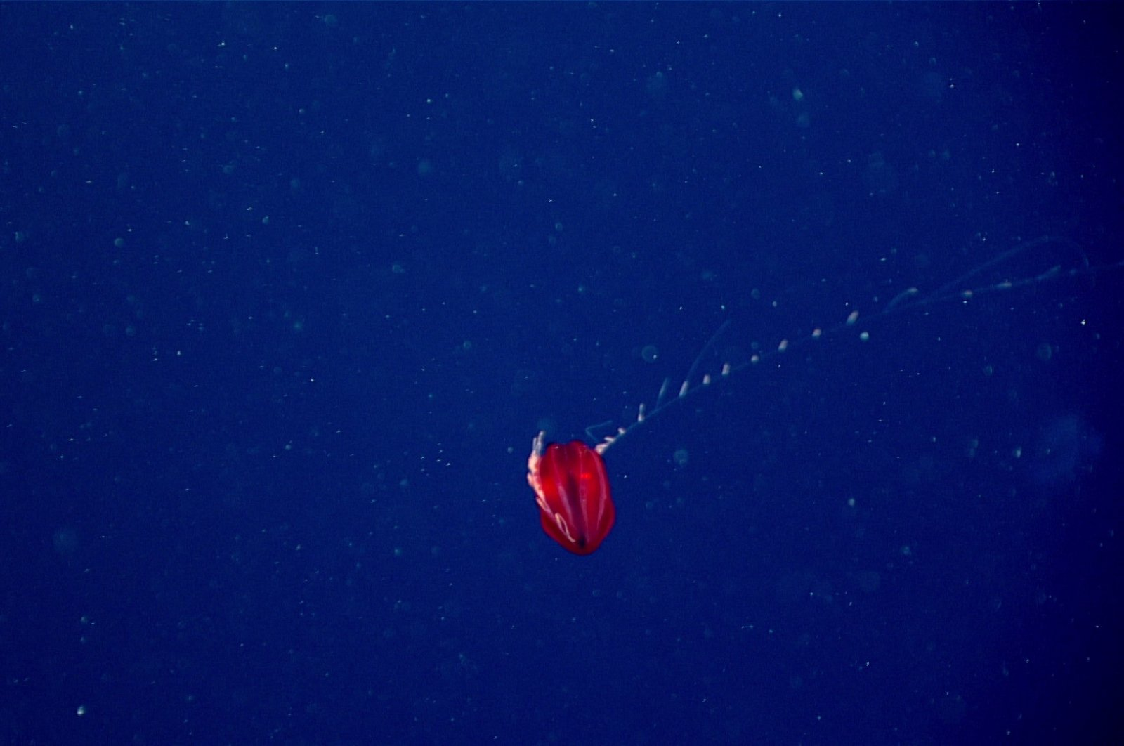 This red ctenophore in the genus Vampyroctena was seen at a depth of 700 meters (2,297 feet) during Dive 20 of the 2021 North Atlantic Stepping Stones expedition. (Photo courtesy of NOAA Ocean Exploration, 2021 North Atlantic Stepping Stones: New England and Corner Rise Seamounts)