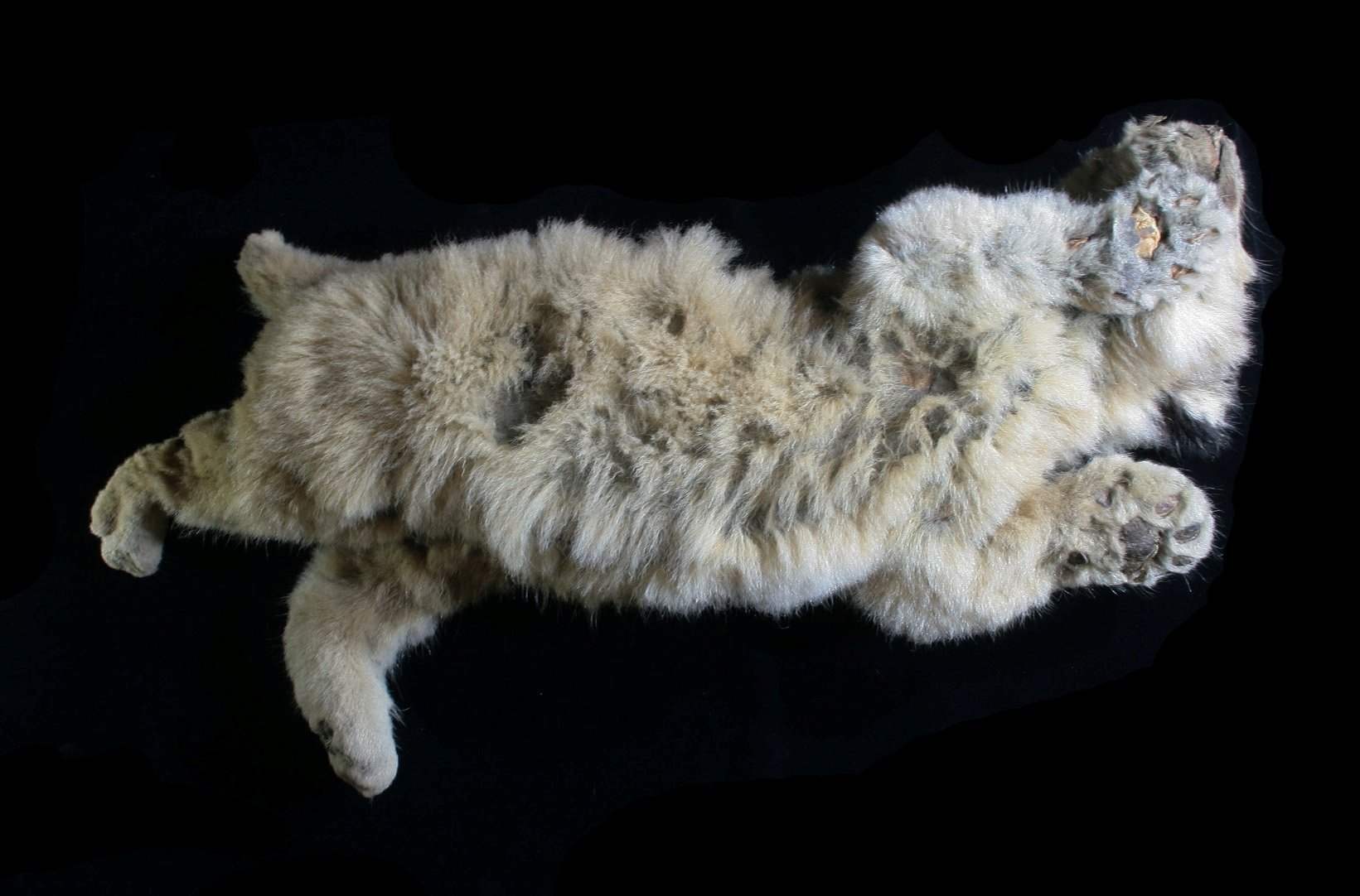 A cave lion cub named Sparta, which was found preserved in Siberia's permafrost, can be seen, in Yakutsk, Russia, 2020. (REUTERS Photo)