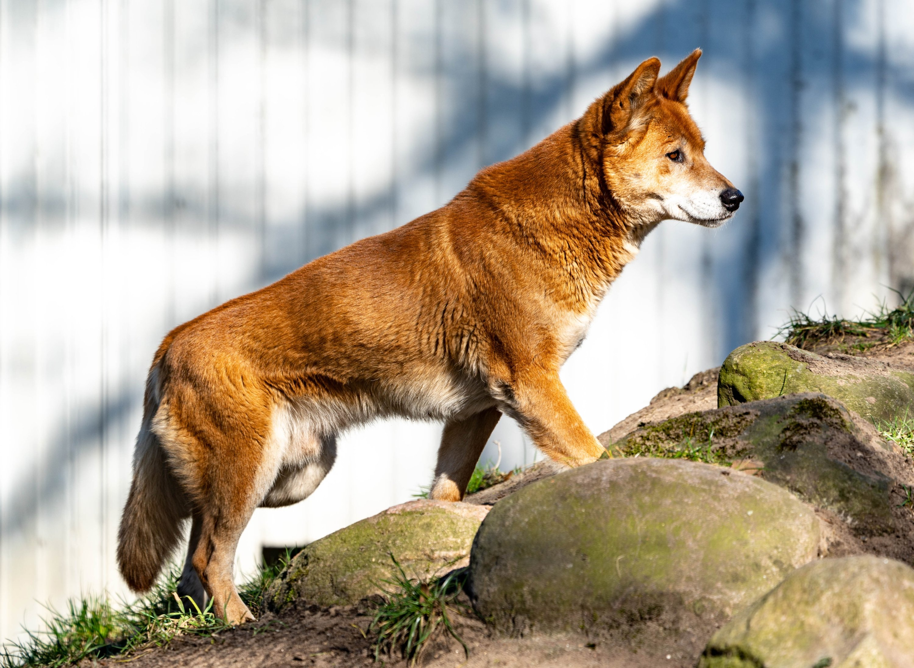 """A male dingo named """"Kami,"""" walks through his enclosure atNeumünster Zoo,Neumünster, Germany, on March 5, 2021. (Getty Images)"""