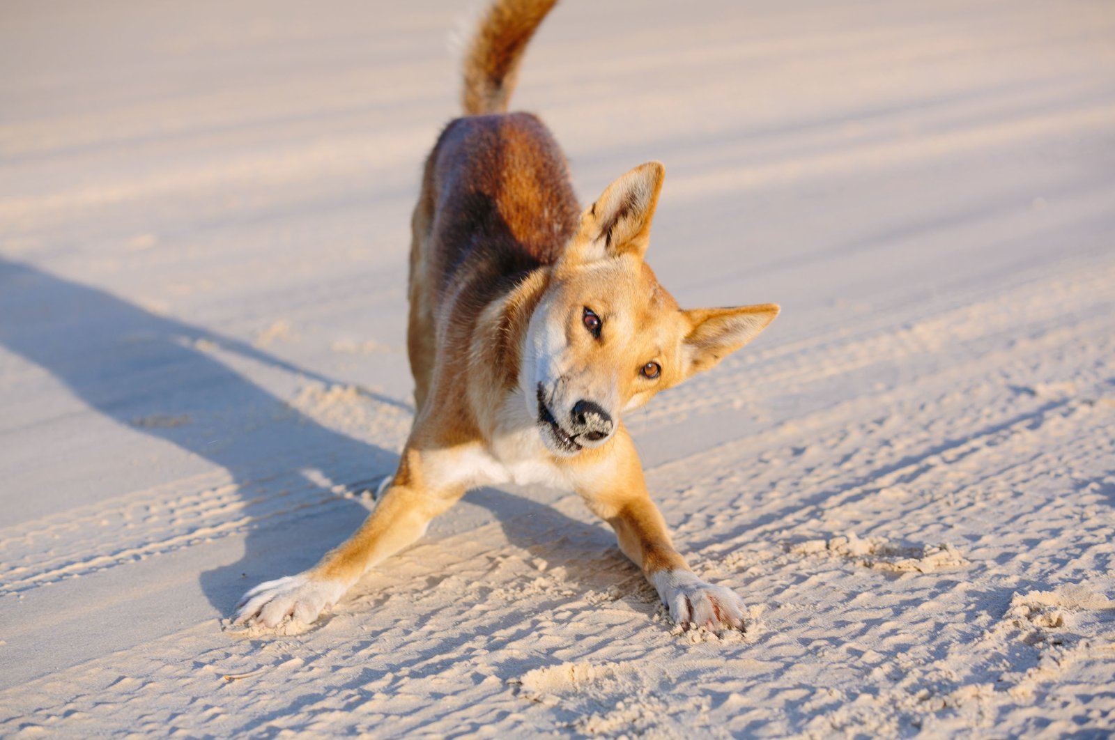 A dingo can be seen on the beachin Great Sandy National Park, Fraser Island Waddy Point, Queensland, Australia. (Shutterstock Photo)