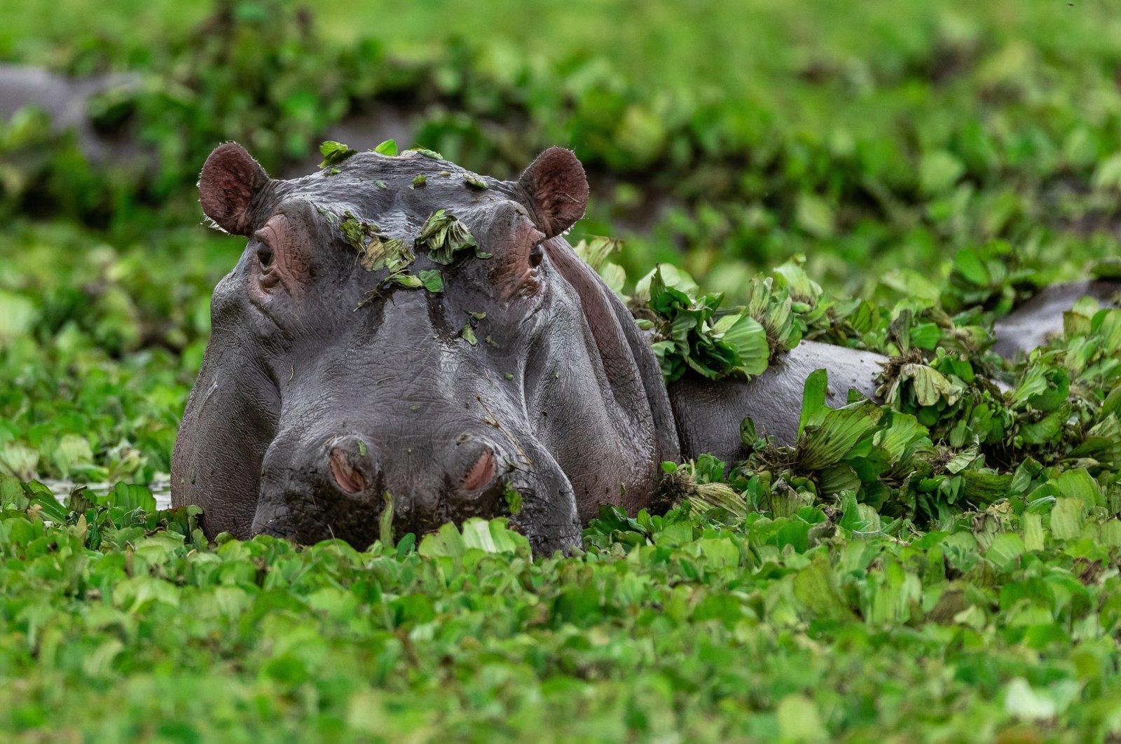 Hippopotamus in lake water. (Shutterstock File Photo)