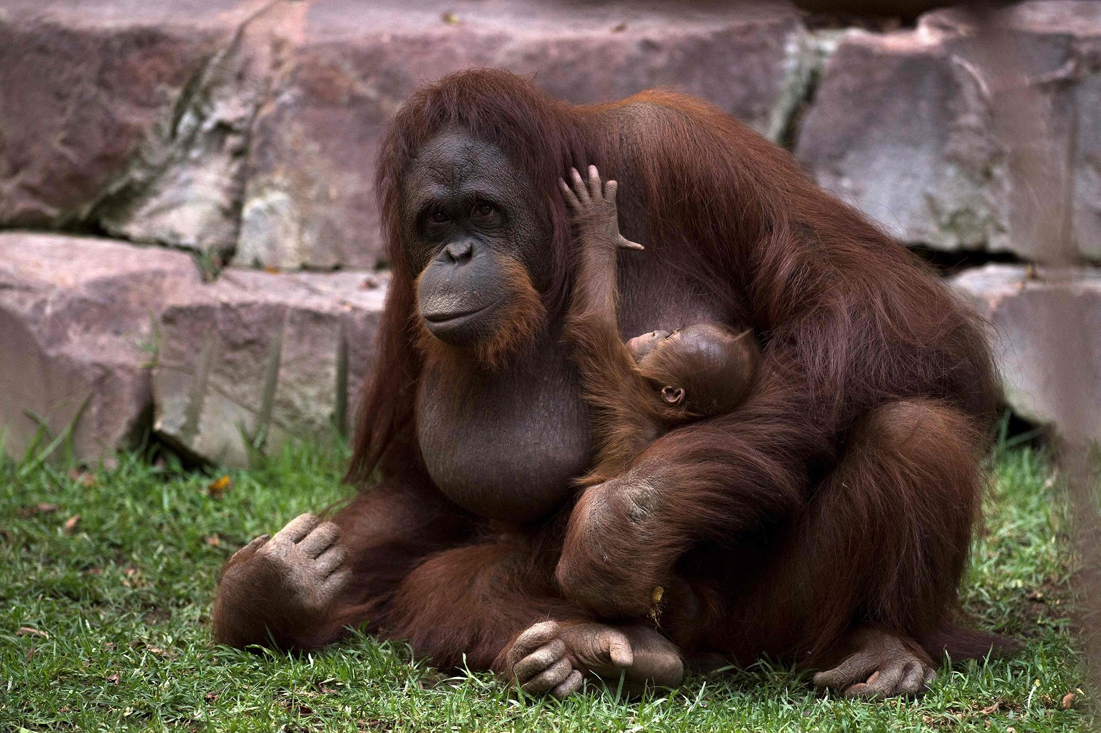 A Bornean orangutan called Suli holds her newborn baby at their enclosure at the Bioparc zoological park in Fuengirola, Spain, Aug. 12, 2021. (AFP Photo)