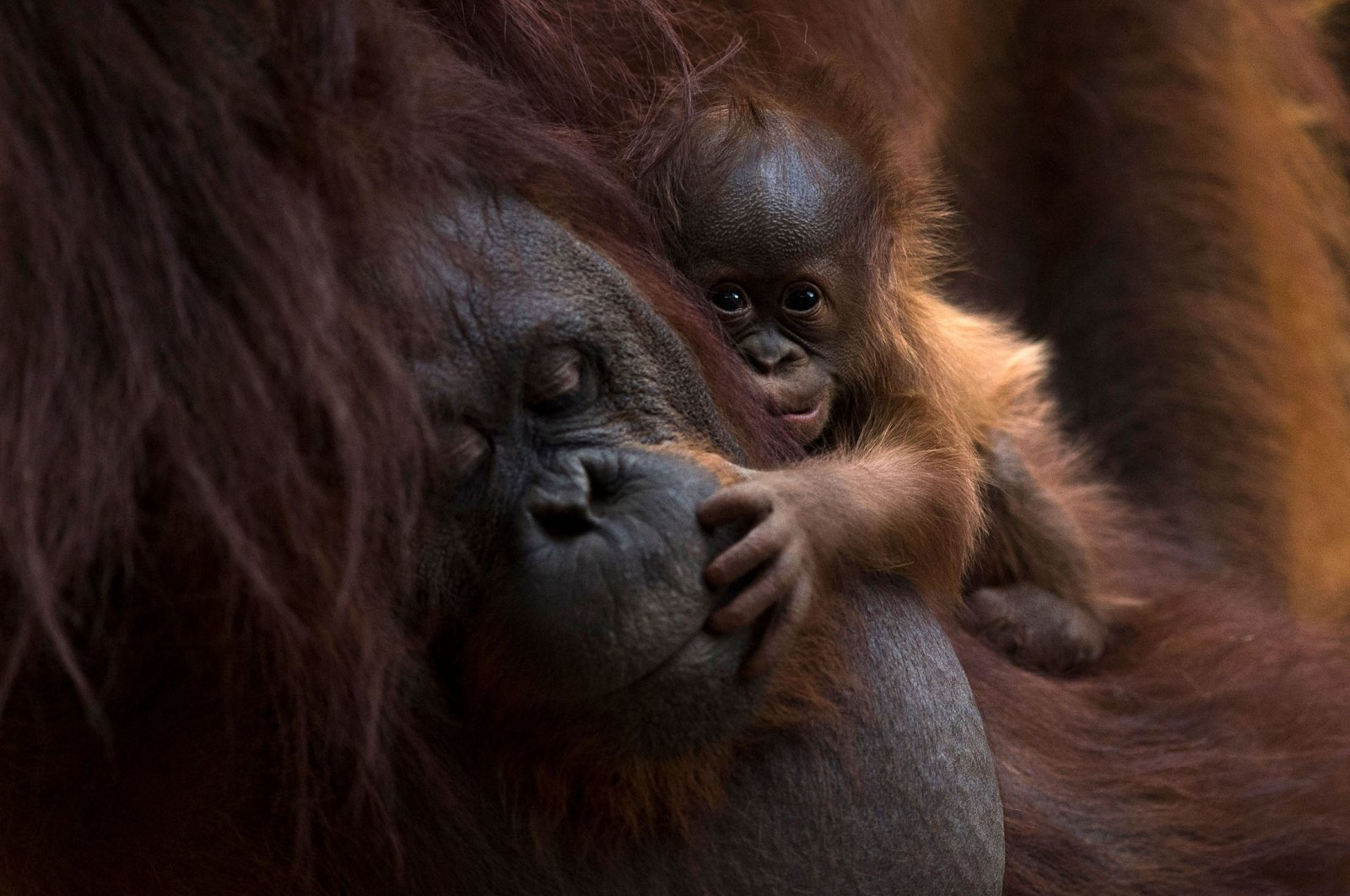 A Bornean orangutan called Suli holds her newborn baby at their enclosure at the Bioparc zoological park in Fuengirola, Spain, on Aug. 12, 2021. (AFP Photo)