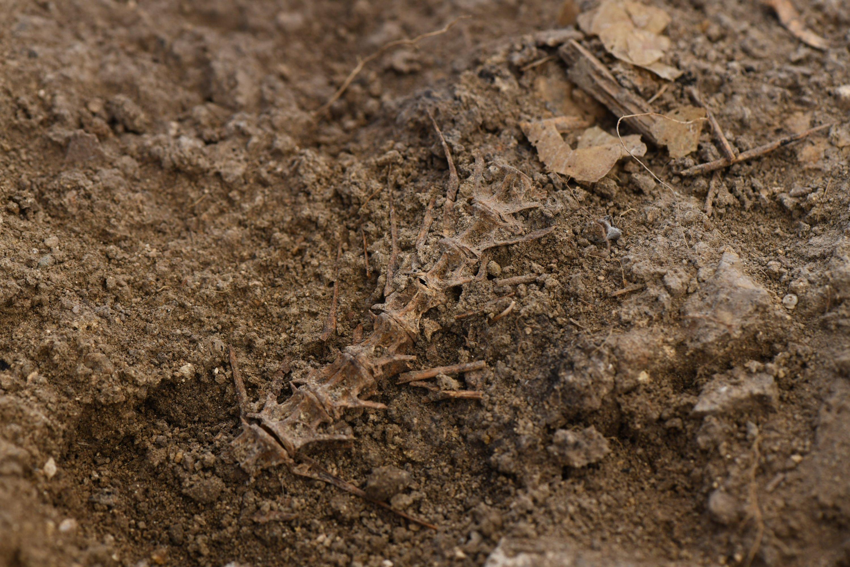 A fish spine found in the ancient city of Daskyleion, Balıkesir, western Turkey, Aug. 17, 2021. (AA Photo)