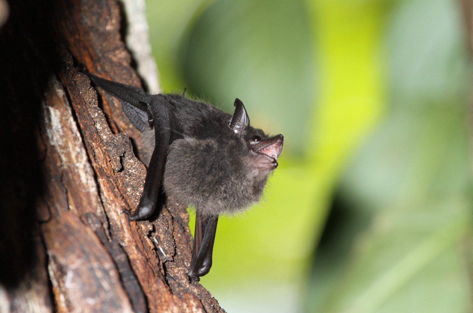 AA Saccopteryx bilineata pup babbling in the day-roost, photo obtained on Aug. 19, 2021. (EurekAlert! handout via AFP Photo)