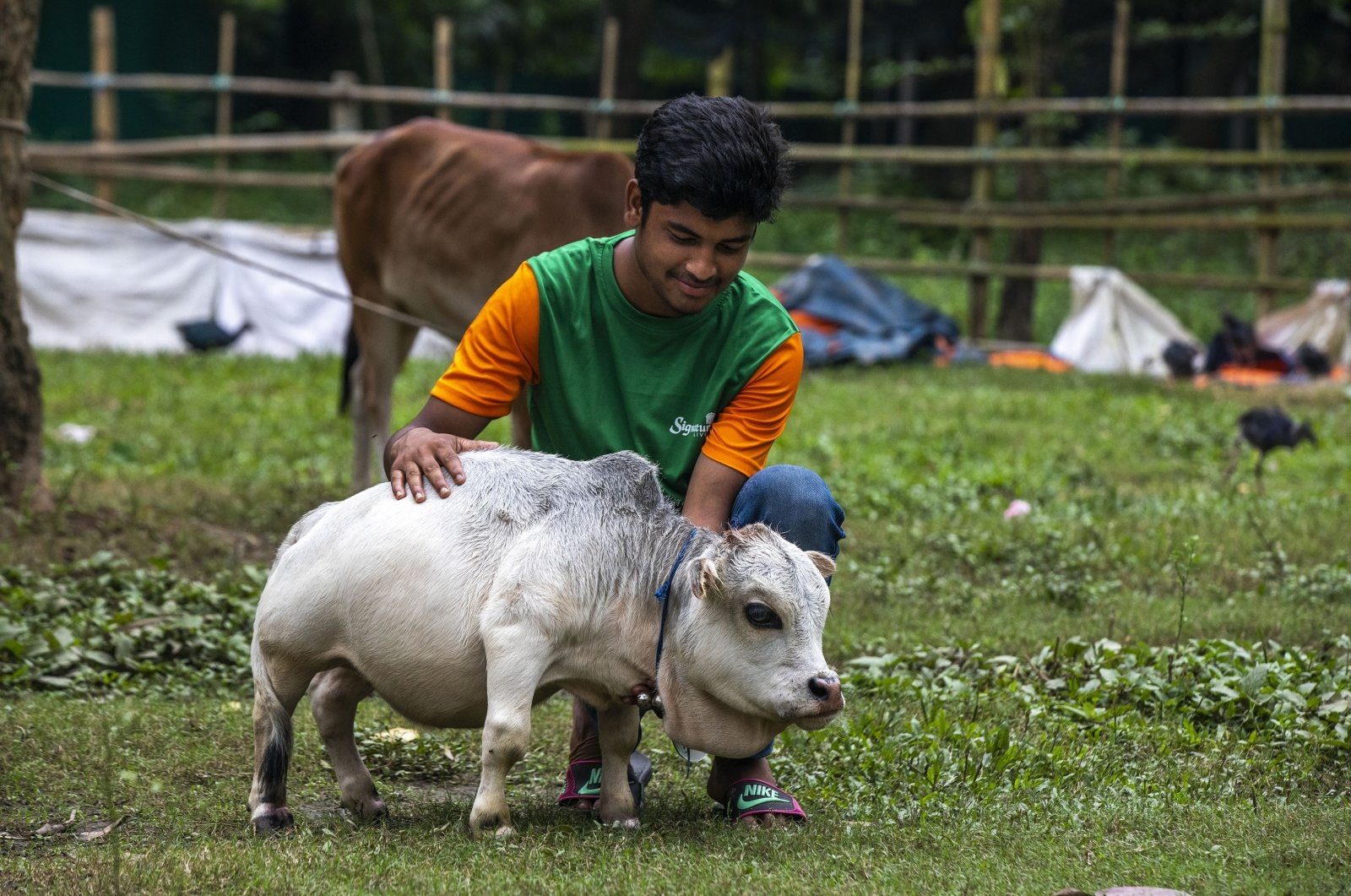 An attendant takes care of a dwarf cow named Rani, whose owners applied to the Guinness Book of Records claiming it to be the smallest cow in the world, at a cattle farm in Charigram, Bangladesh, July 7, 2021. (Getty Images)